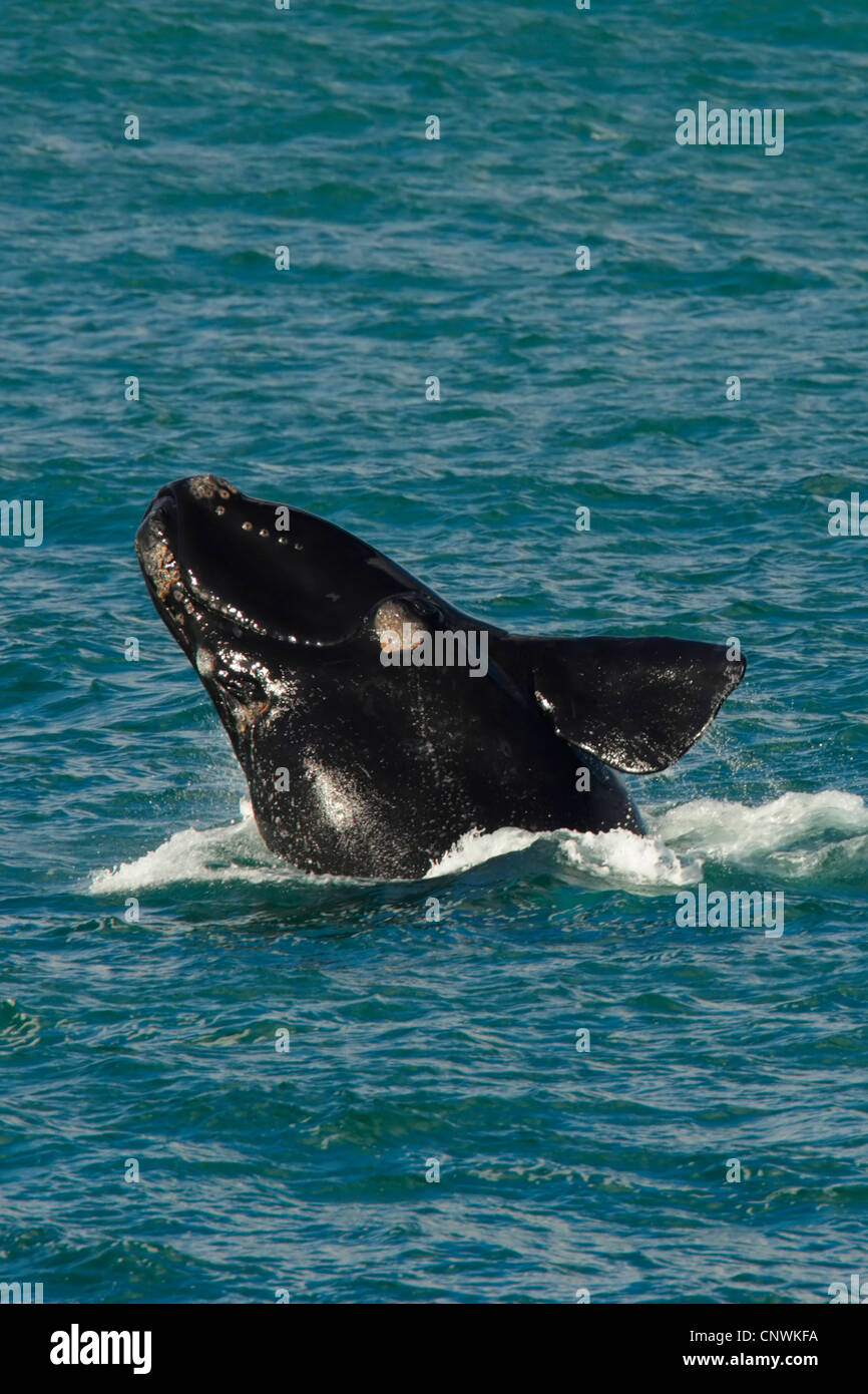 southern right whale (Eubalaena australis, Balaena glacialis australis), jumping out of the water, South Africa, - Stock Image
