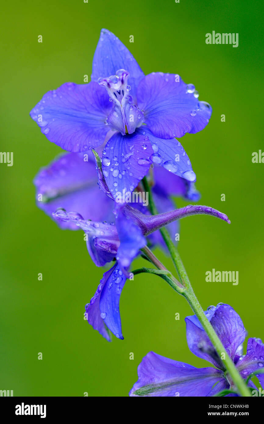 Doubtful knight's-spur, Larkspur, Annual Delphinium (Consolida ajacis, Delphinium ajacis), flowers - Stock Image