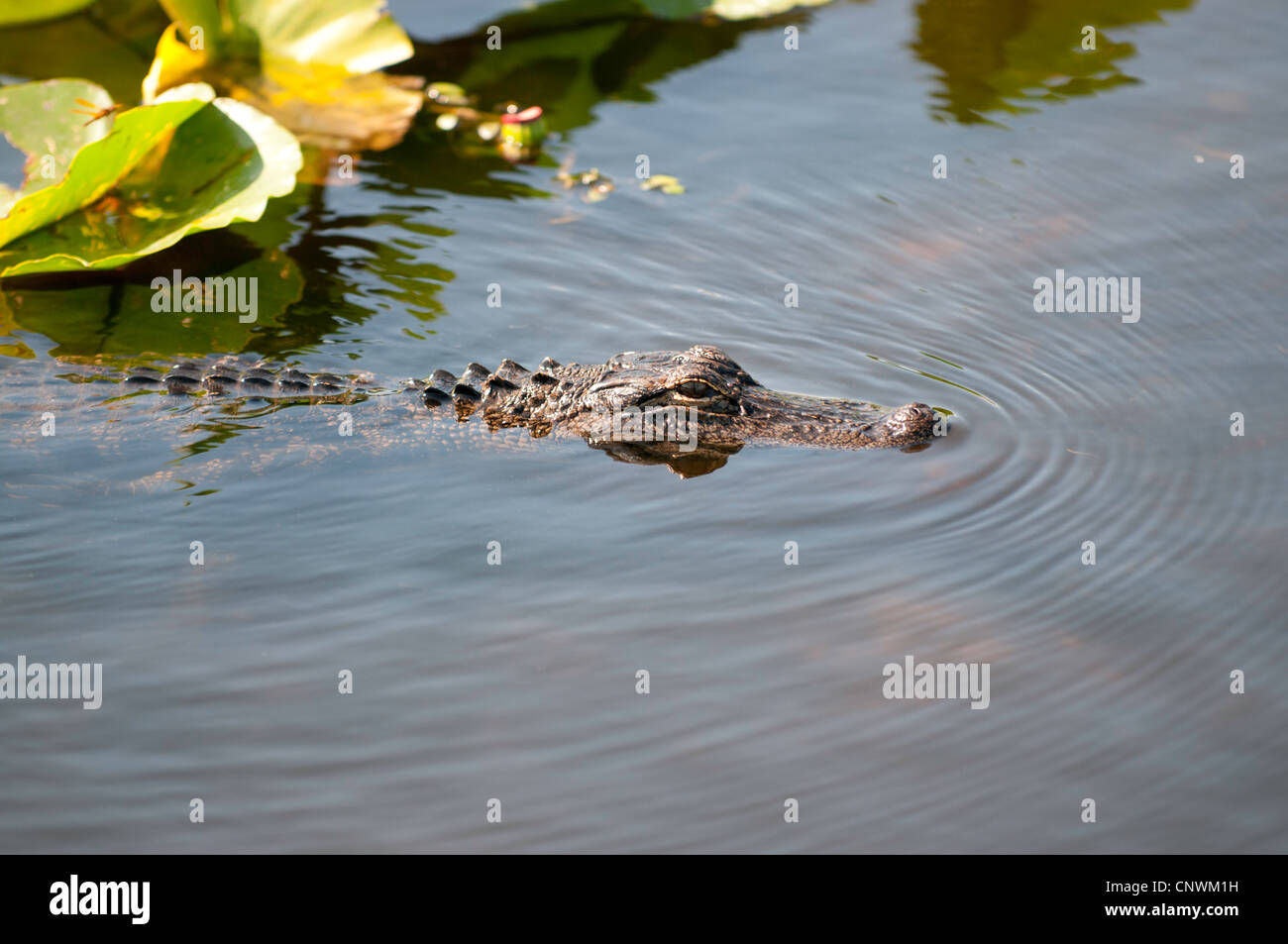 Young alligator swimming Stock Photo
