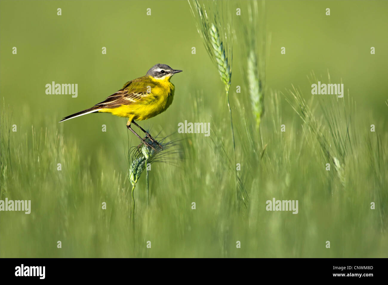 Blue-headed Wagtail, Yellow Wagtail (Motacilla flava flava), sitting in a green barley field on an ear, Germany, - Stock Image