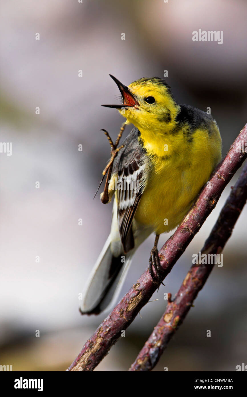 citrine wagtail (Motacilla citreola), sitting on a branch scratching its head, Greece, Lesbos - Stock Image
