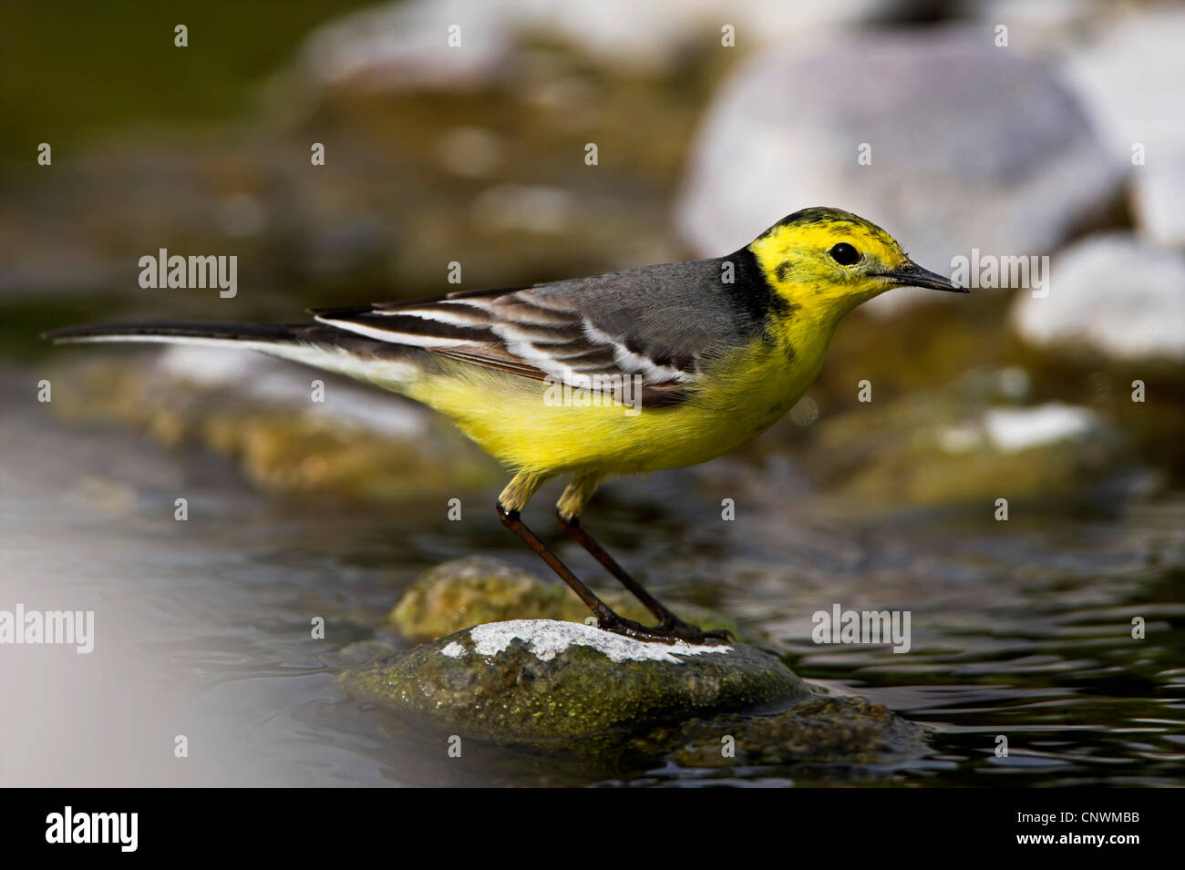 citrine wagtail (Motacilla citreola), standing in a brook on a stone, Greece, Lesbos - Stock Image