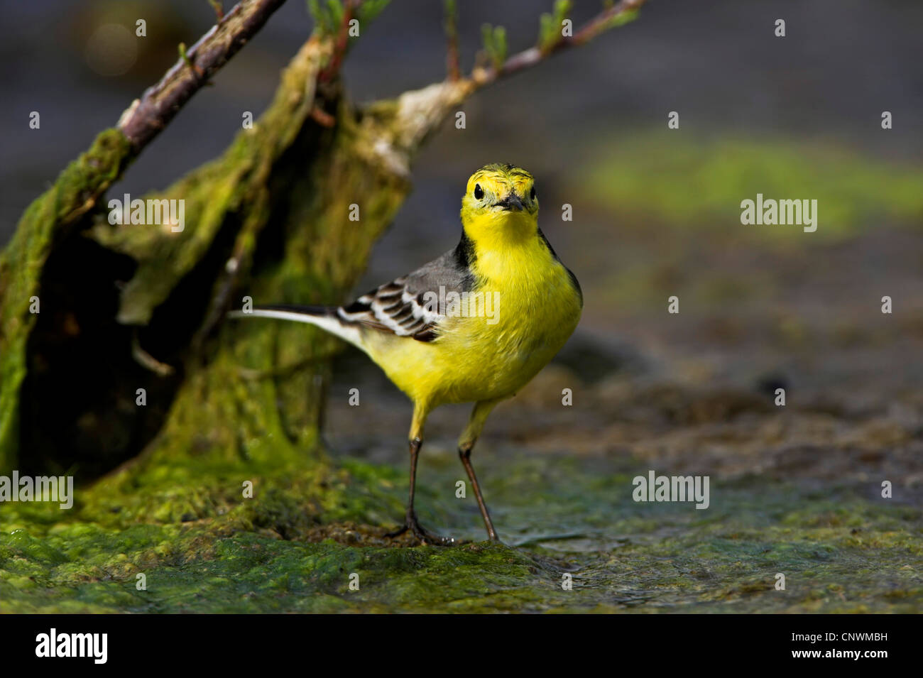 citrine wagtail (Motacilla citreola), standing in a swamp, Greece, Lesbos - Stock Image
