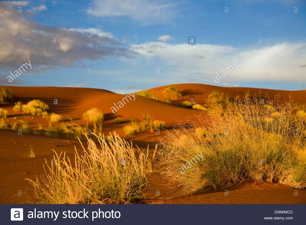 dune grasses in Namib desert, Namibia, Namibrand - Stock Image