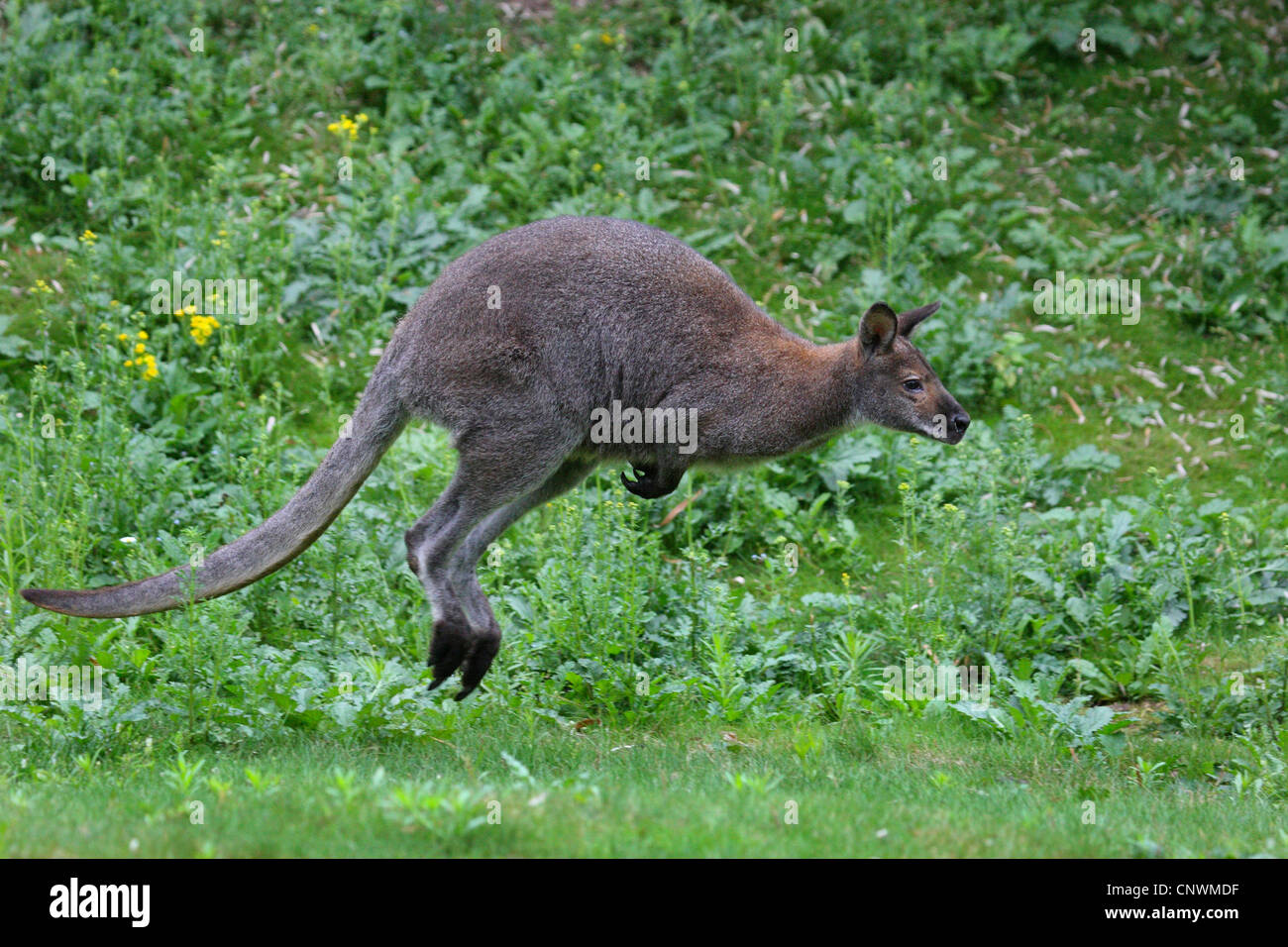 red-necked wallaby, Bennett's Wallaby (Macropus rufogriseus, Wallabia rufogrisea), jumping, Australia Stock Photo
