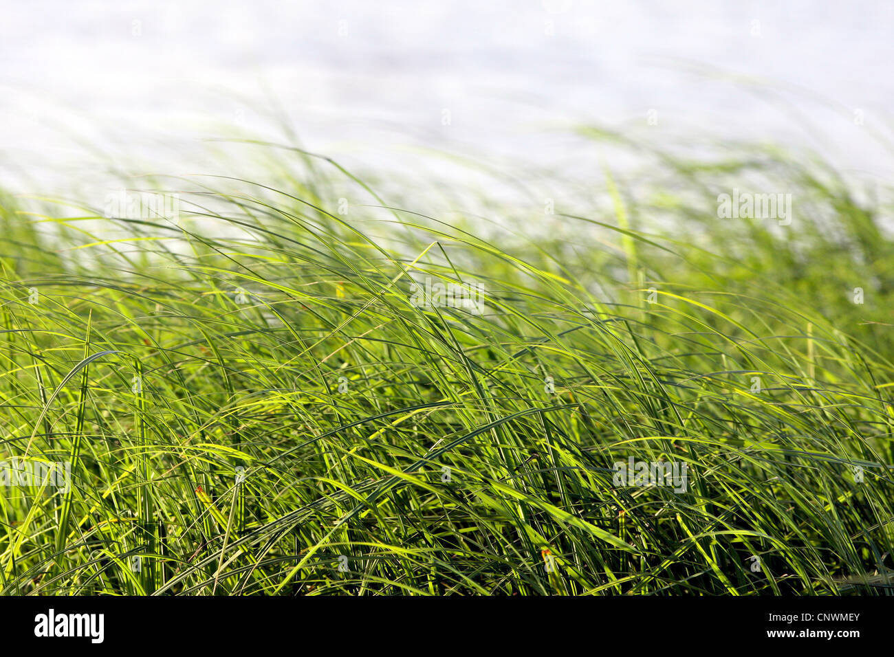 high grass in the wind, NRW - Stock Image