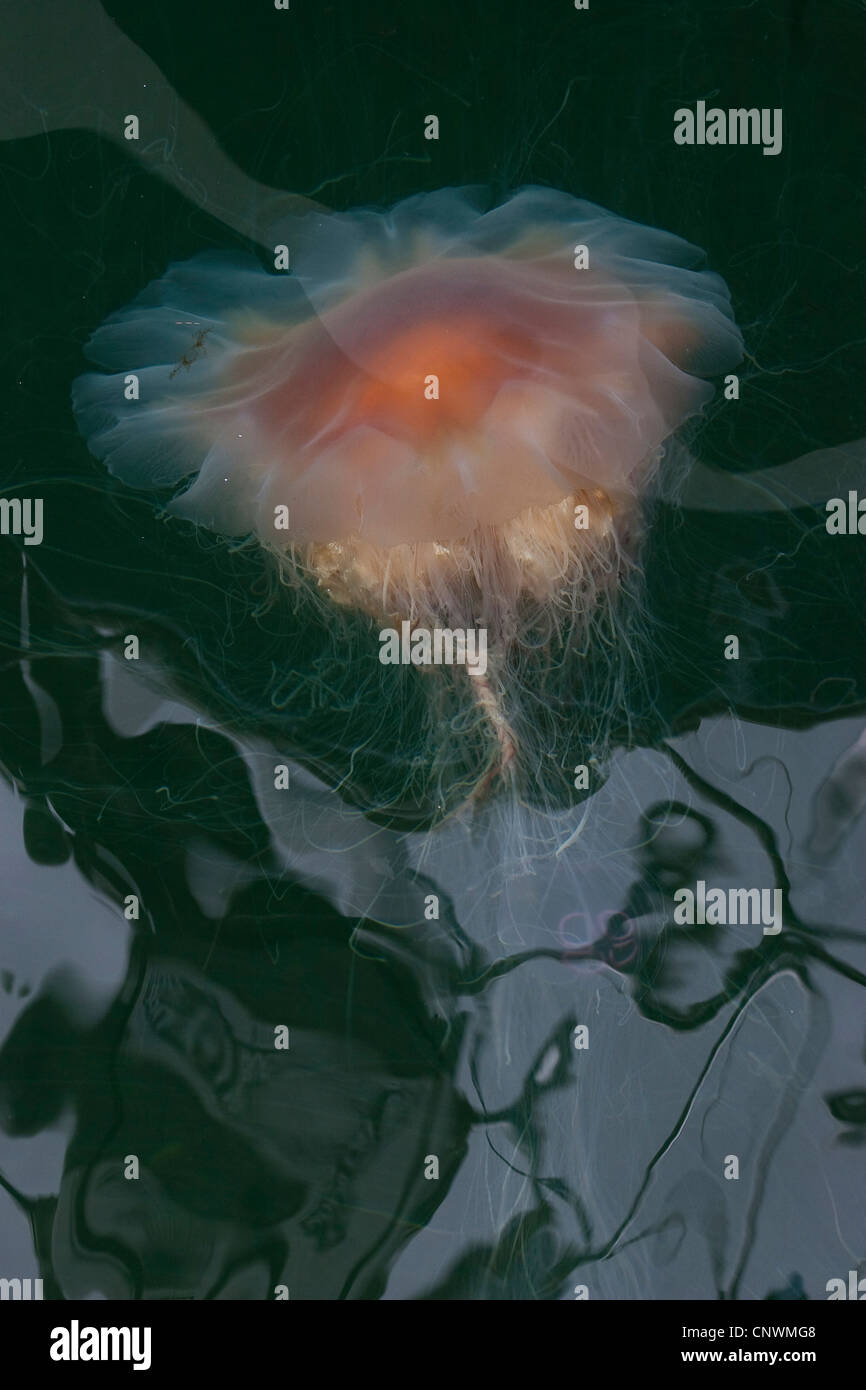 lion's mane, giant jellyfish, hairy stinger, sea blubber, sea nettle, pink jellyfish (Cyanea capillata), swimming Stock Photo