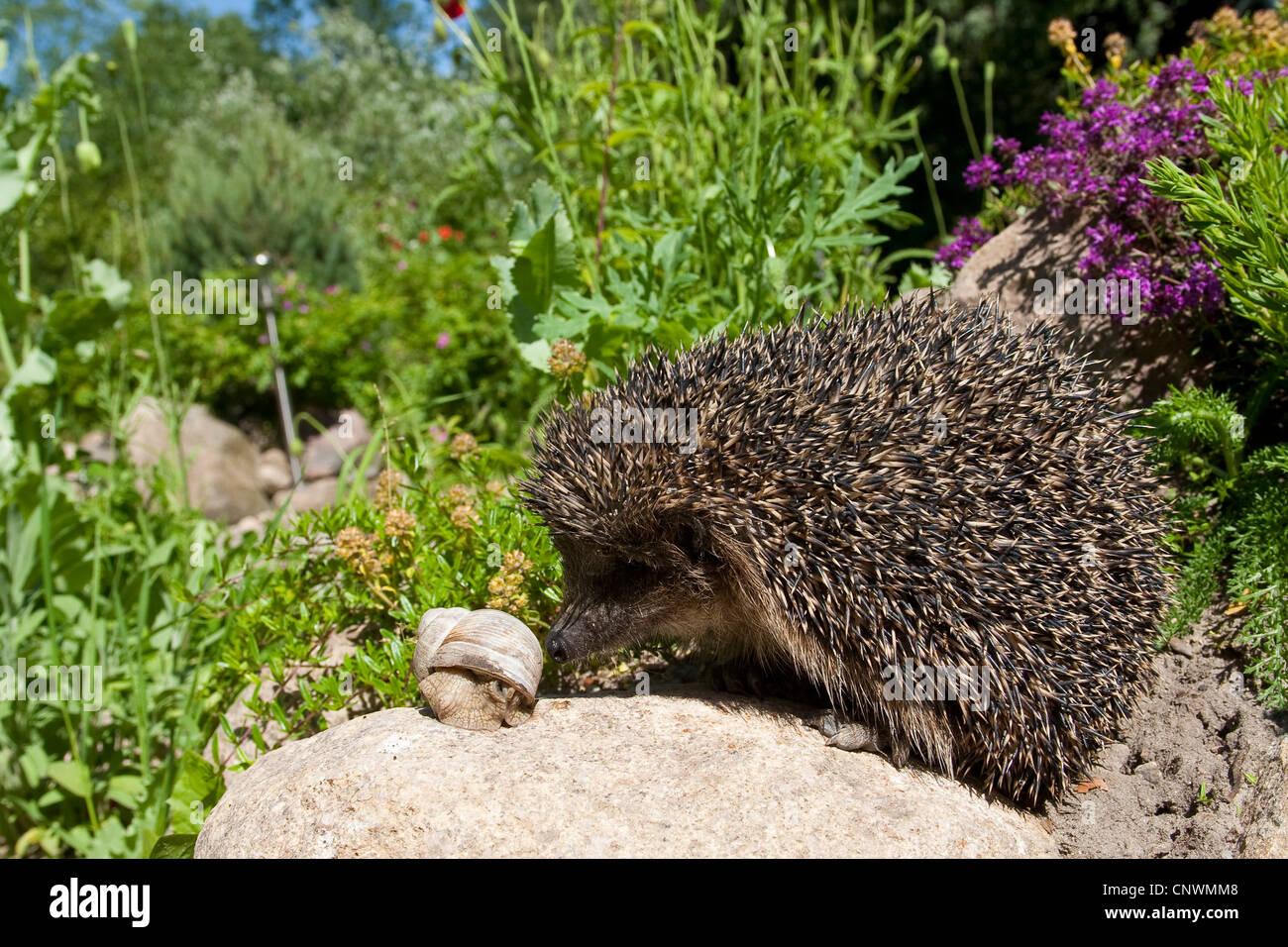 western hedgehog, European hedgehog (Erinaceus europaeus), with banded snail, Germany - Stock Image