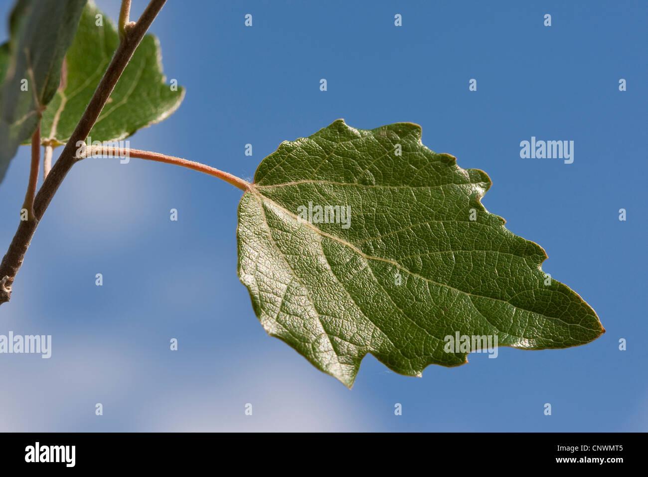 white poplar, silver-leaved poplar, abele (Populus alba), leaf agains blu sky, Germany Stock Photo