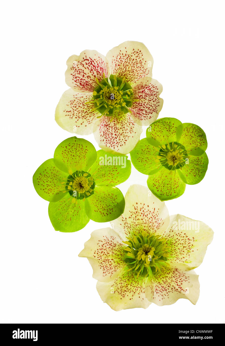 hellebore (Helleborus spec.), cut out of a flower Stock Photo