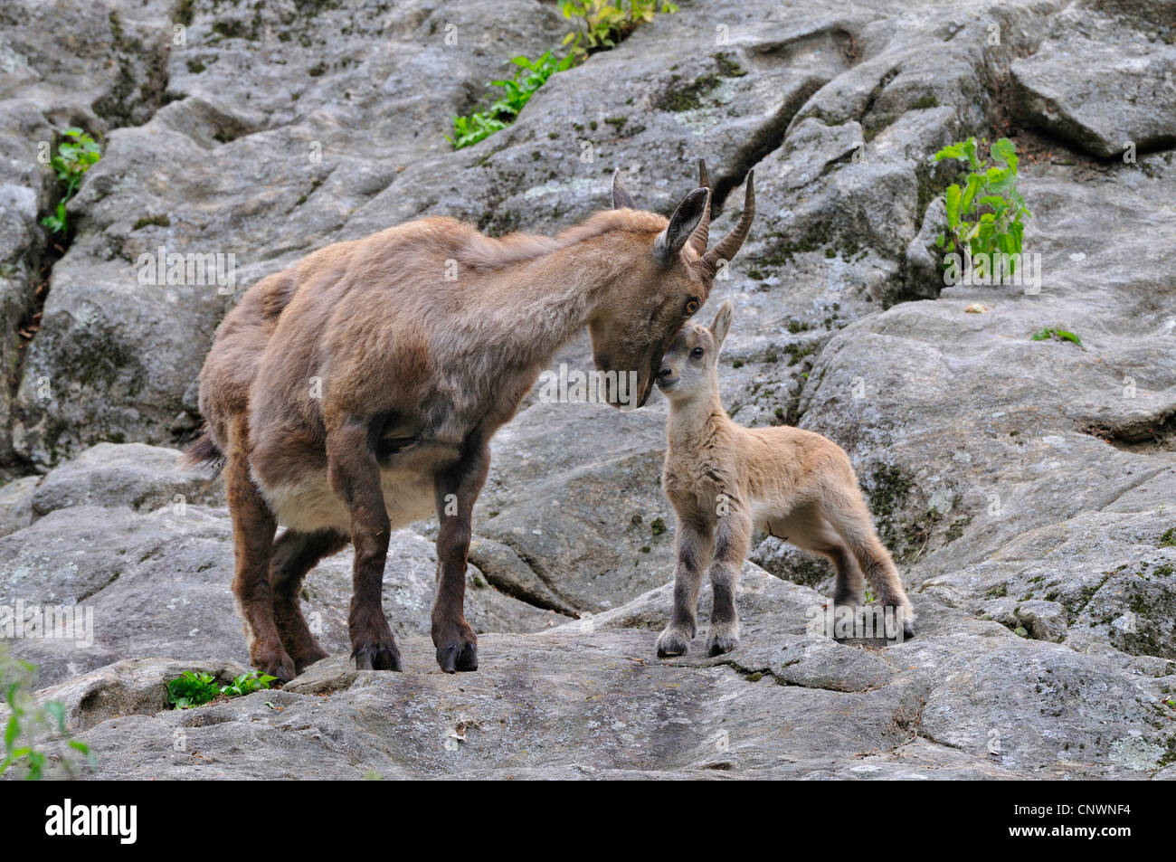 alpine ibex (Capra ibex), mother and juvenile tenderly rubbing their heads against each other, Alps - Stock Image