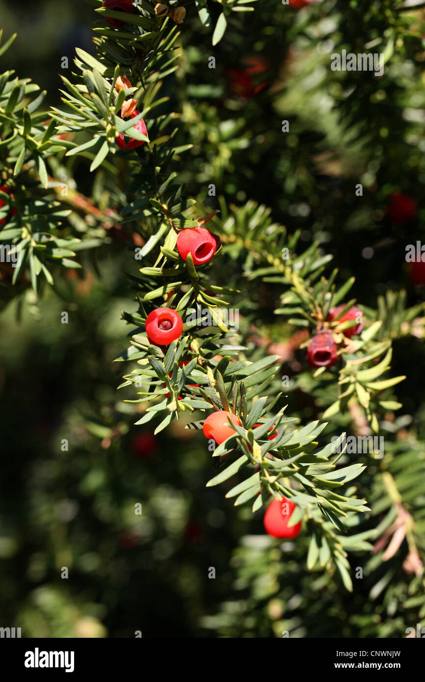 English Yew, Taxus baccata, Taxaceae, Central Europe - Stock Image