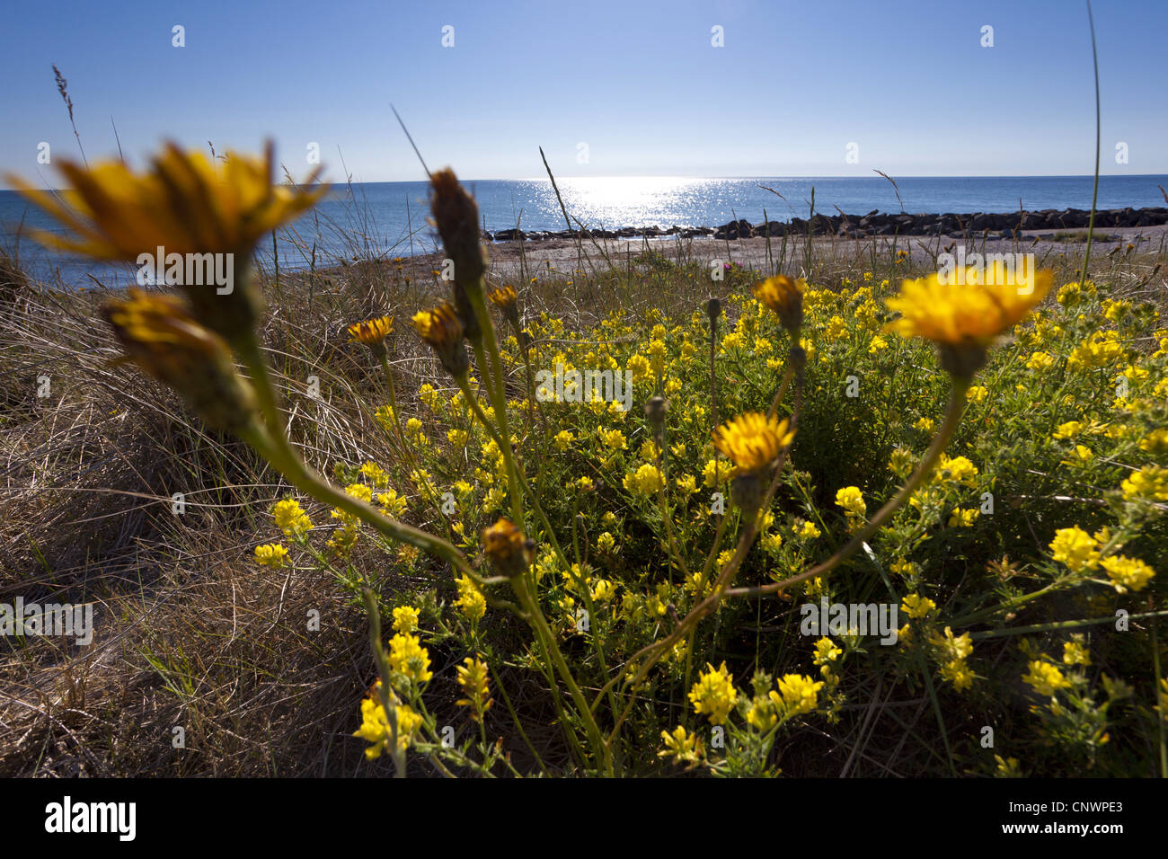 Yellow flowered alfalfa medicago falcata stock photos yellow sickle alfalfa sickle medick yellow lucerne yellow flowered alfalfa medicago falcata mightylinksfo