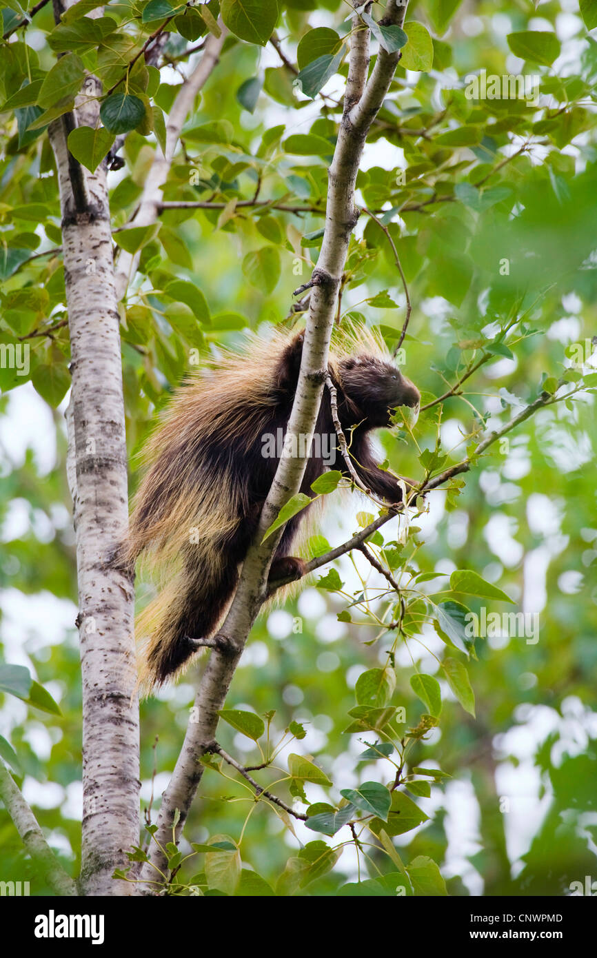 North American porcupine (Erethizon dorsatum), climbing in a tree, USA, Alaska Stock Photo