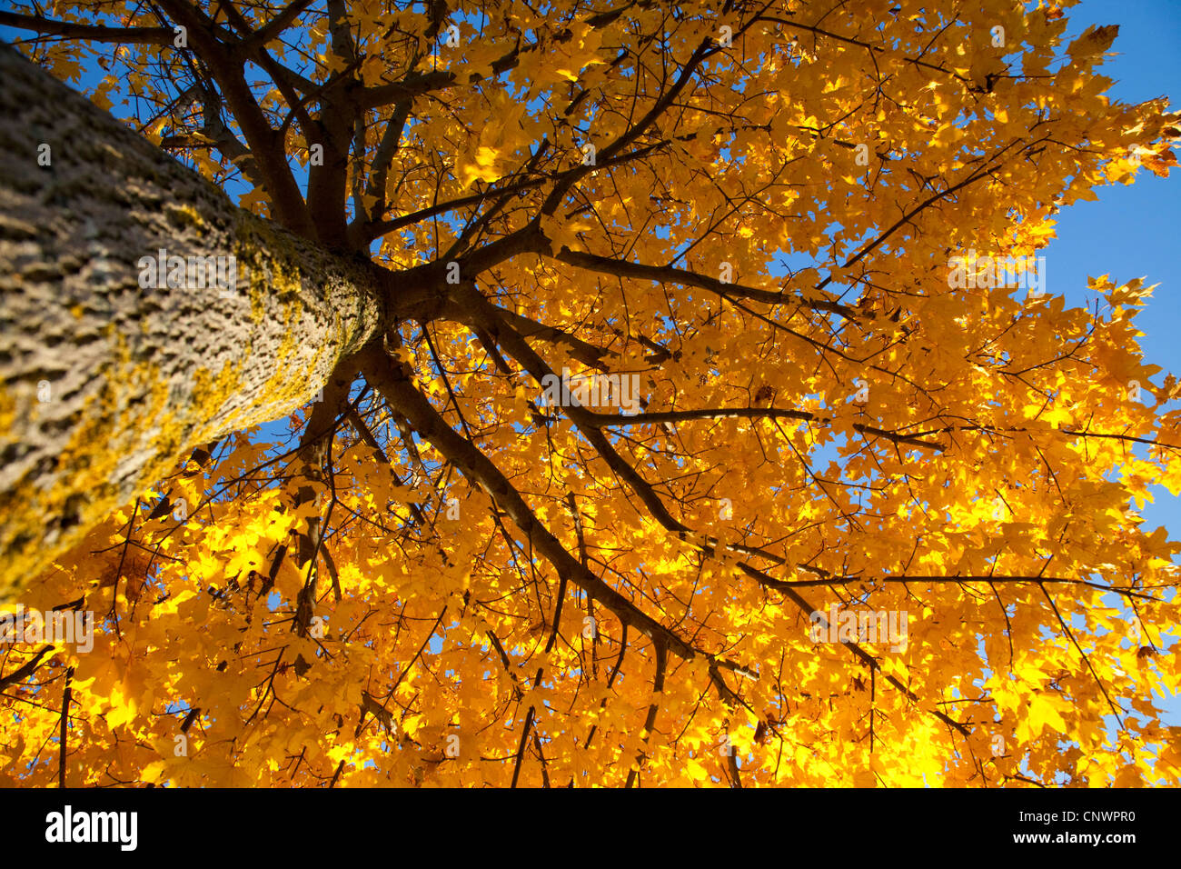 Norway maple (Acer platanoides), view from below into the tree top, Germany, Bavaria - Stock Image