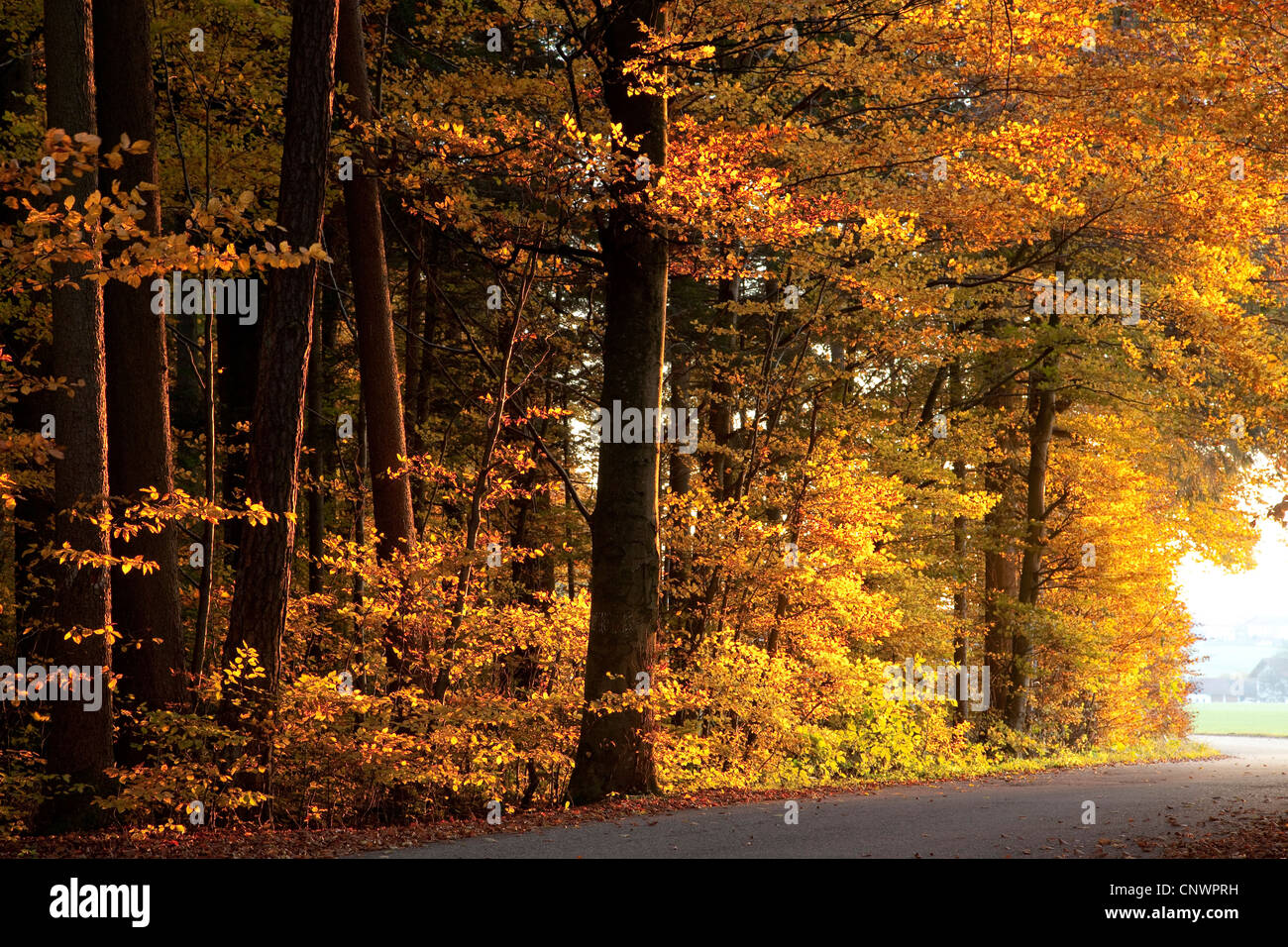common beech (Fagus sylvatica), beech forest edge in autumn colors, Germany, Bavaria - Stock Image