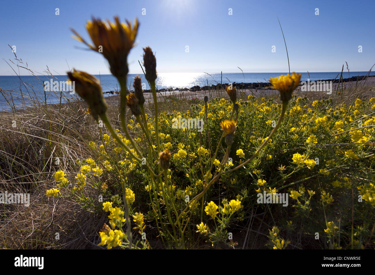 Sickle alfalfa sickle medick yellow lucerne yellow flowered stock sickle alfalfa sickle medick yellow lucerne yellow flowered alfalfa medicago falcata medicago sativa ssp falcata blooming at the coast together with mightylinksfo