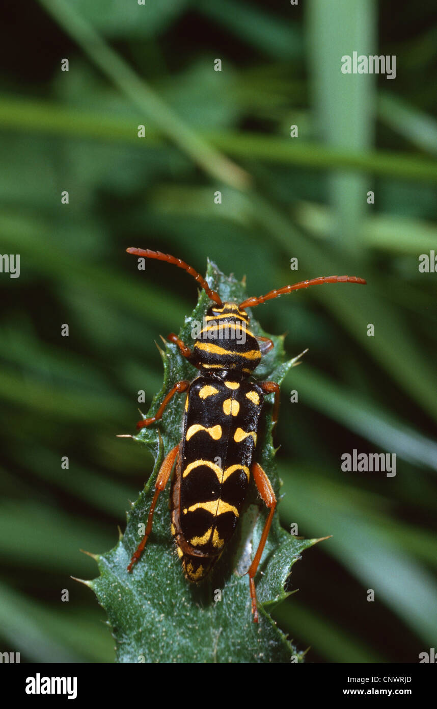 yellow-bowed longhorn beetle (Plagionotus arcuatus), sitting on a leaf, Germany - Stock Image