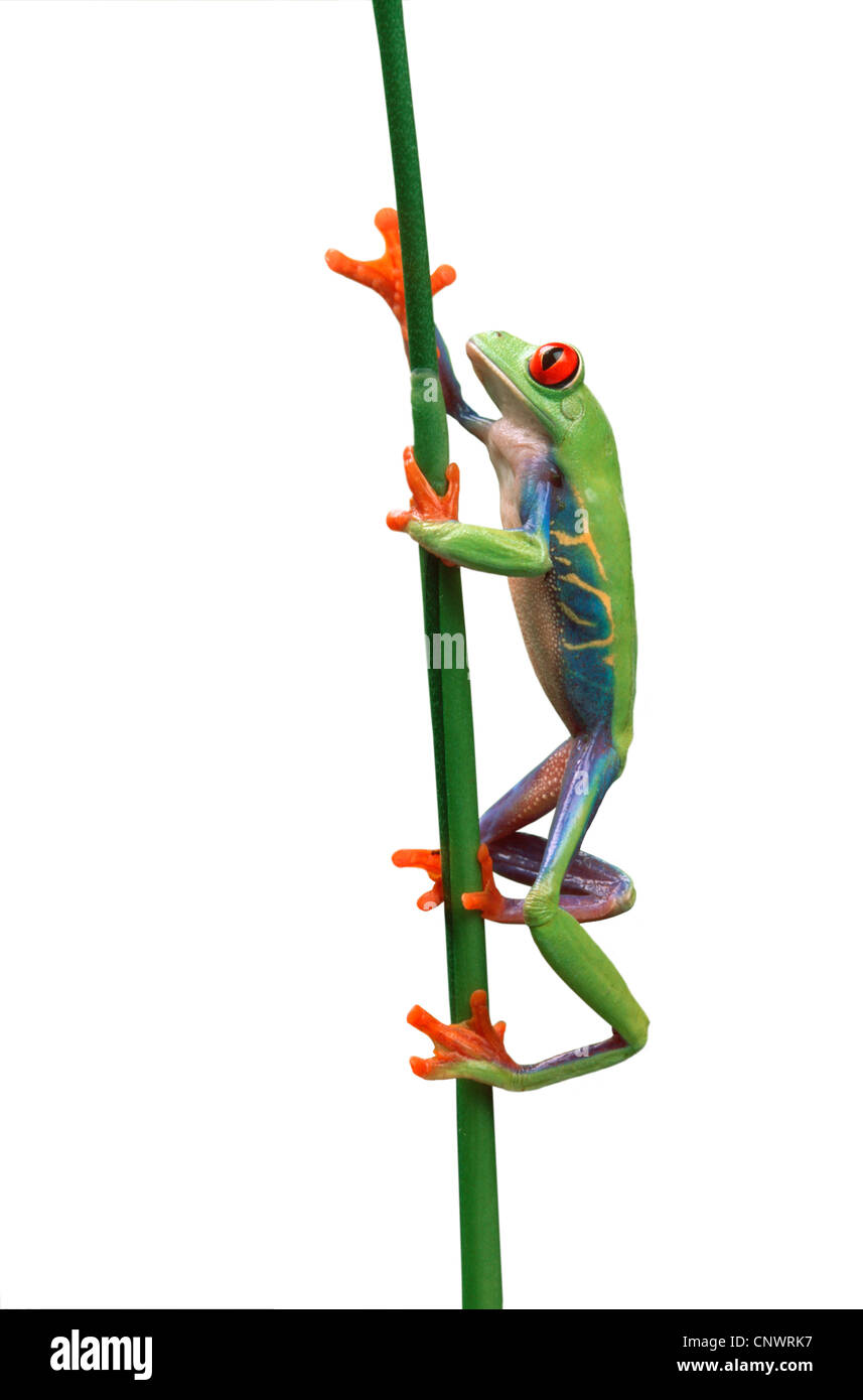 red-eyed treefrog, redeyed treefrog, redeye treefrog, red eye treefrog, red eyed frog (Agalychnis callidryas), male Stock Photo