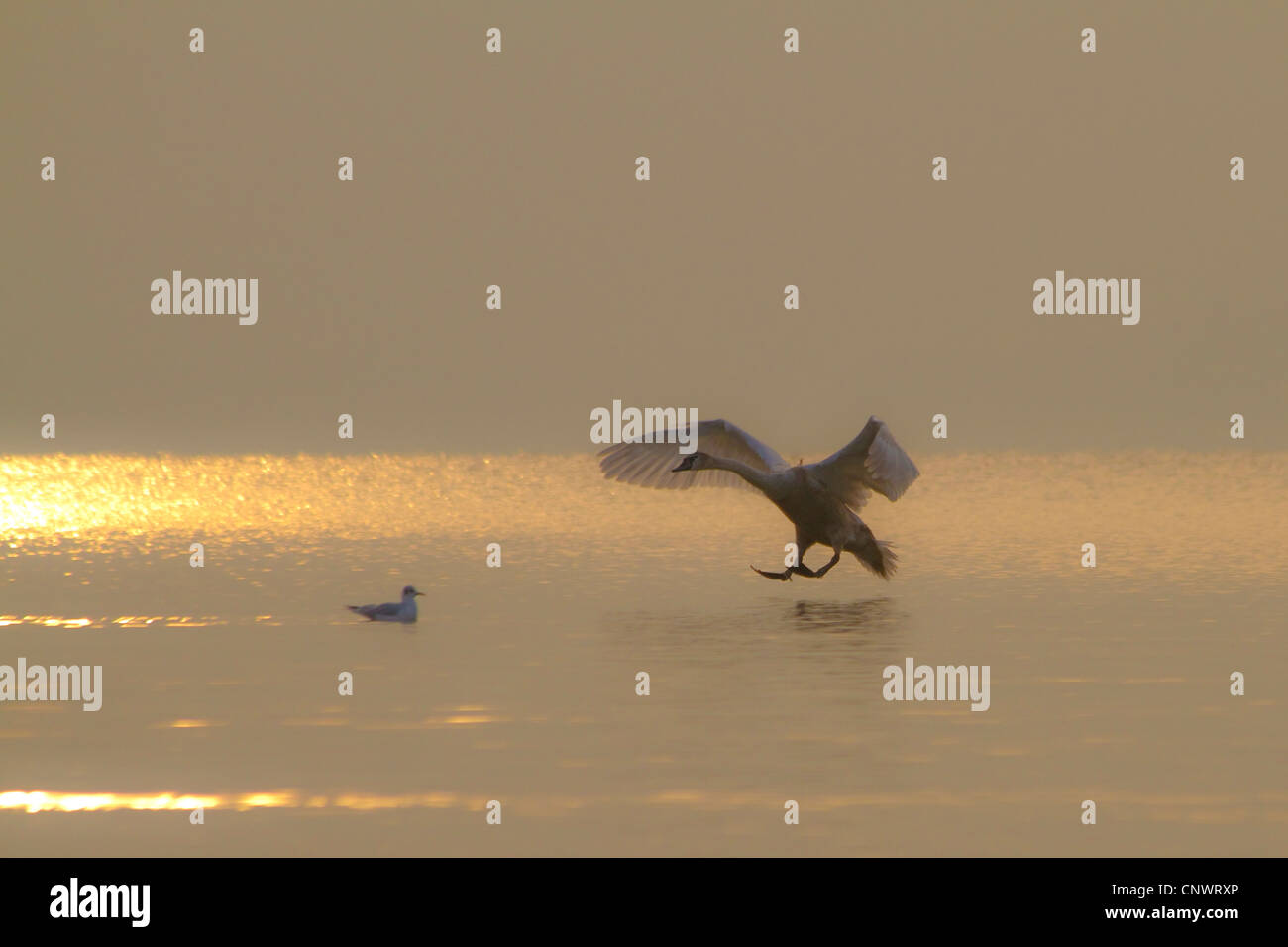 mute swan (Cygnus olor), landing on ive sheet in evening sun, Germany, Bavaria, Chiemsee - Stock Image