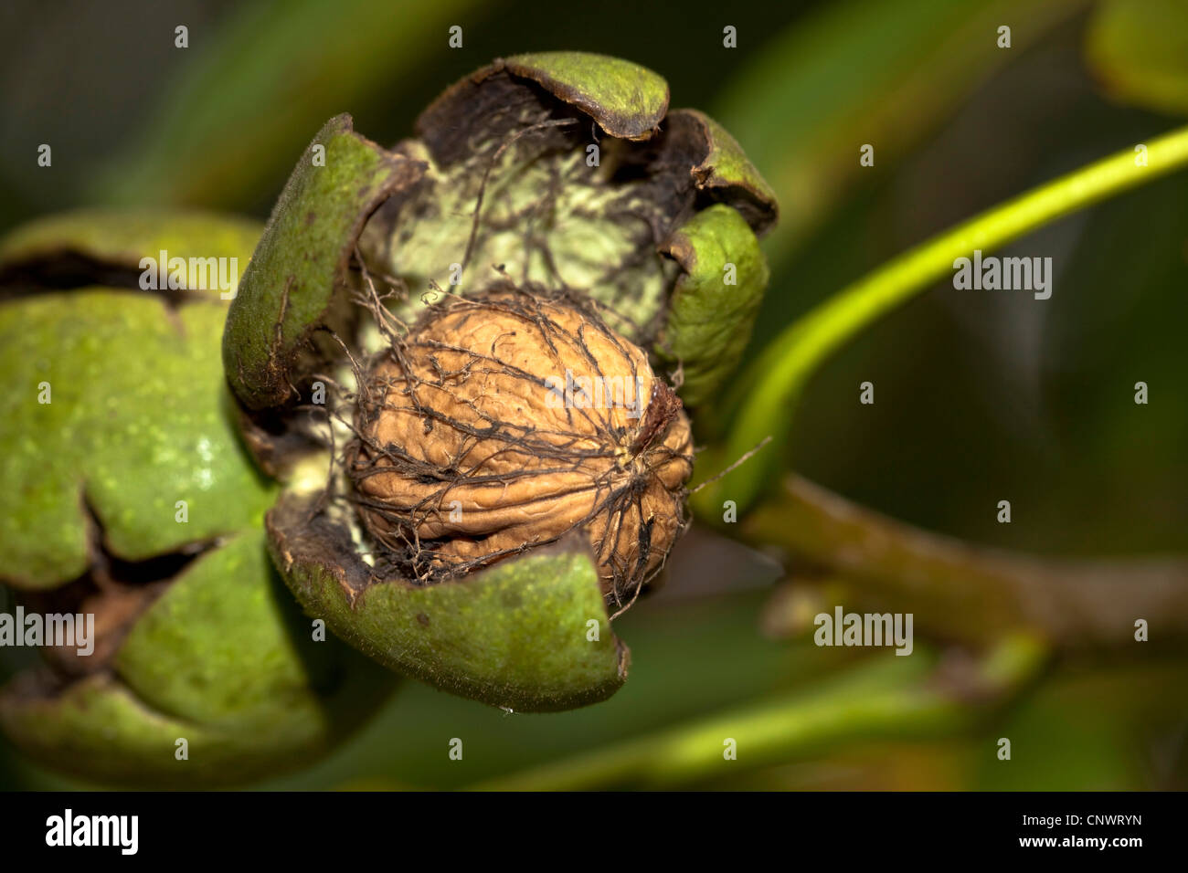 walnut (Juglans regia), ripe fruit with open husk, Germany, Bavaria - Stock Image