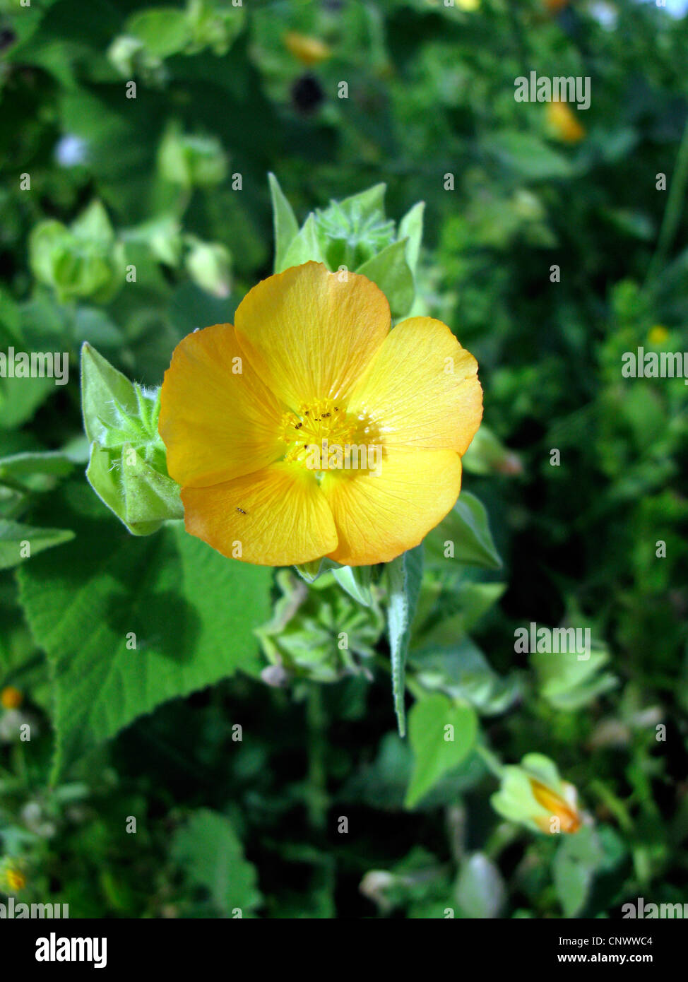 hairy abutilon, ma'o, flowering maple (Abutilon grandifolium), blooming, Canary Islands, Gomera - Stock Image