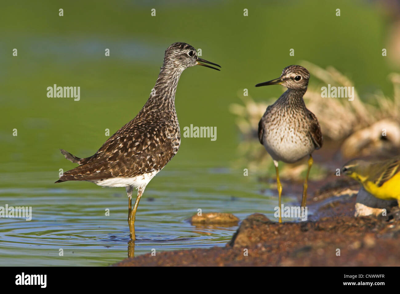 wood sandpiper (Tringa glareola), two birds standing at the edge of a quiet water, Greece, Lesbos - Stock Image