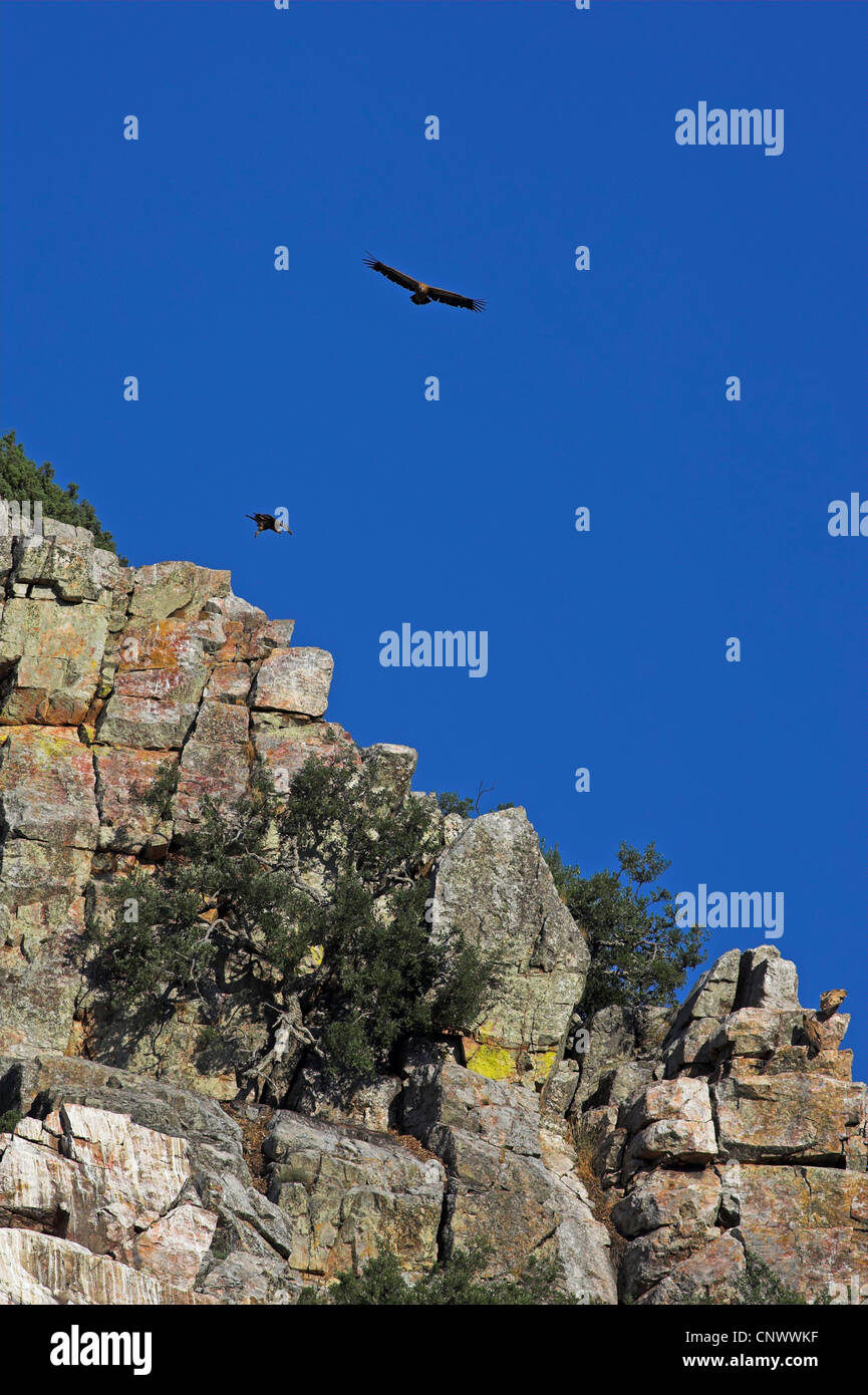griffon vulture (Gyps fulvus), two birds gliding at a rock wall, Spain, Extremadura Stock Photo