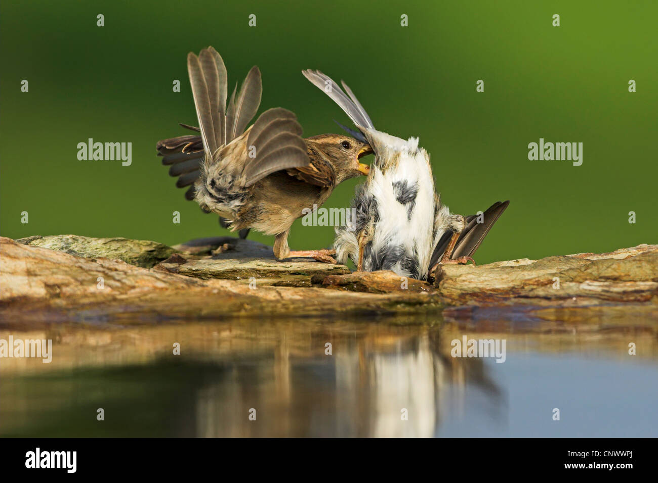 house sparrow (Passer domesticus), two rivals fighting at a water place, Germany, Rhineland-Palatinate - Stock Image