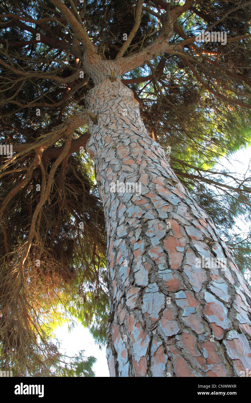 umbrella pine (Pinus pinea), view from below along the tree log into the top, Turkey - Stock Image