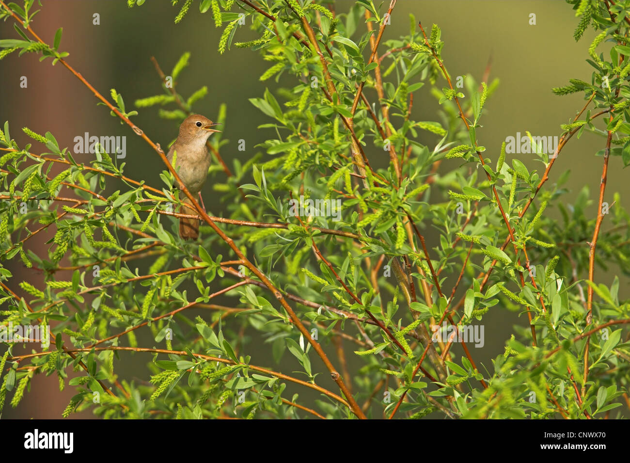 Willow Tit Stock Footage Royalty Free Stock Pics