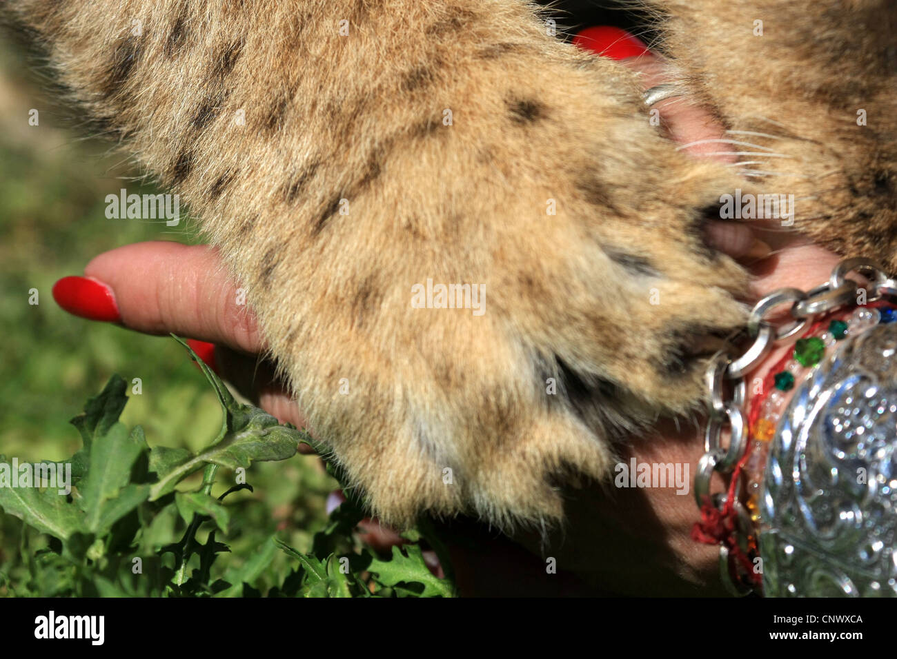 Lion cub interacts with Volunteer worker - Stock Image