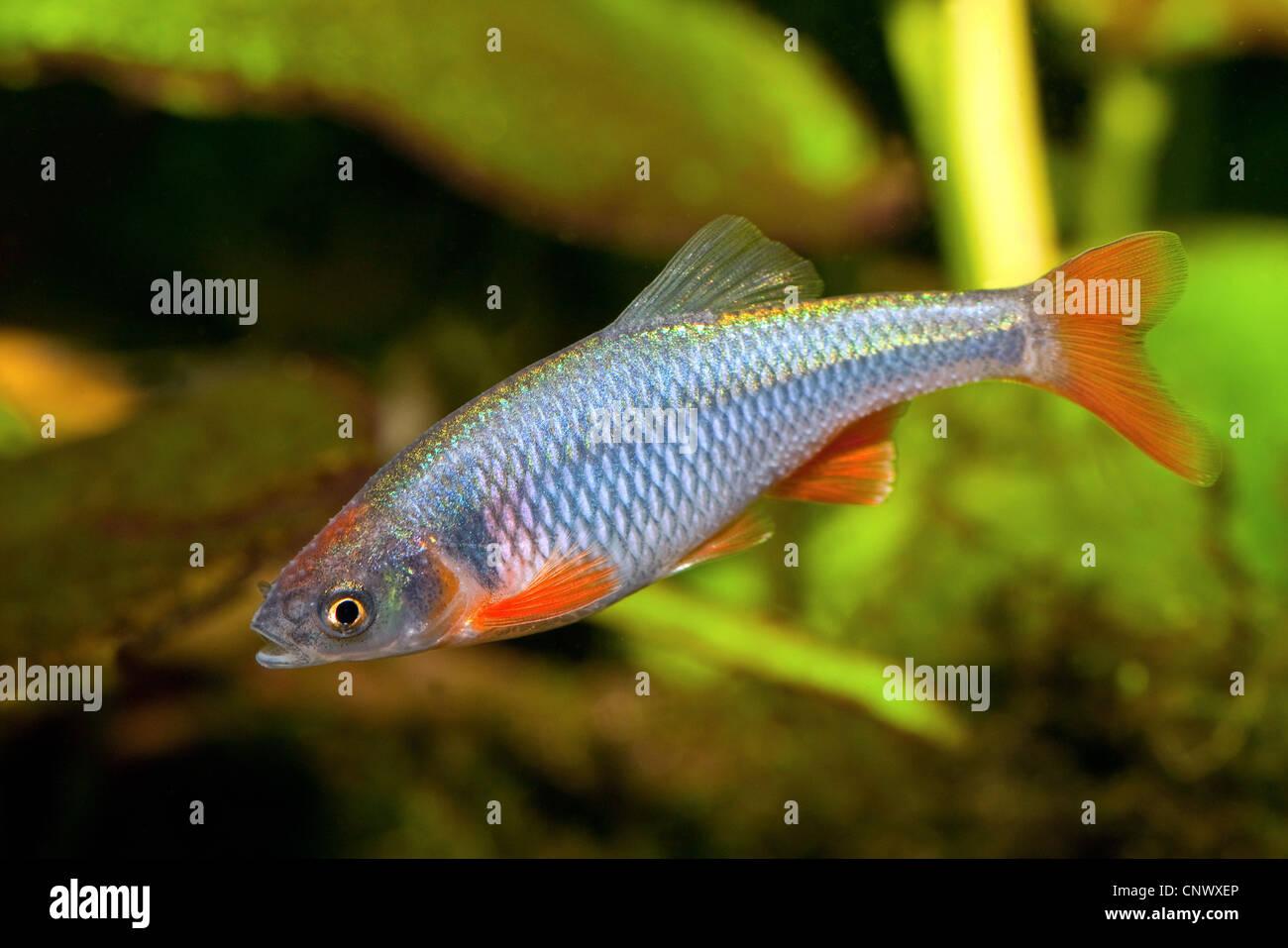 red shiner (Notropis lutrensis), male in spawning season - Stock Image