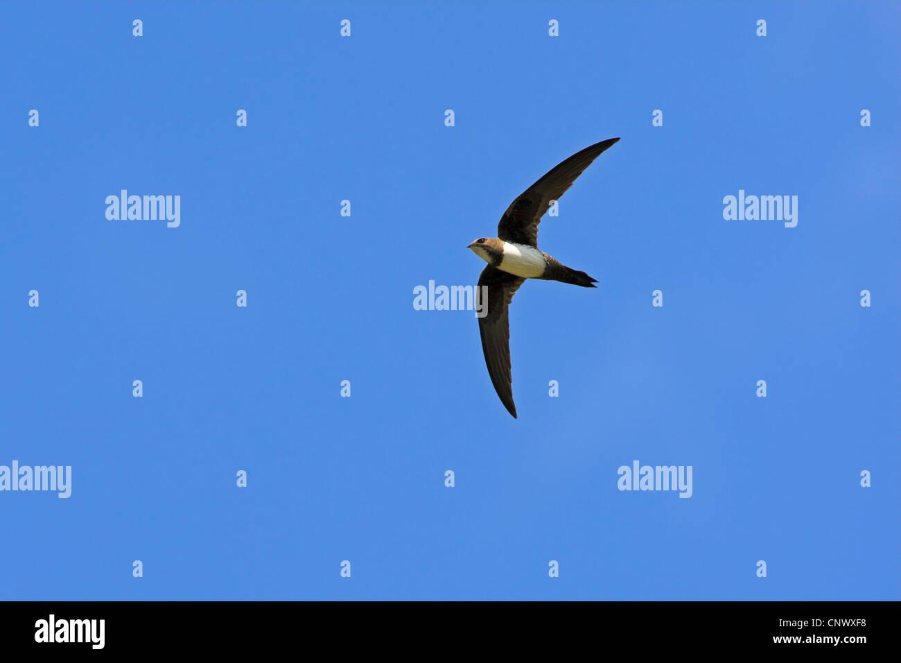 alpine swift (Apus melba, Tachymarptis melba), flying, Greece, Lesbos, Eressos Stock Photo