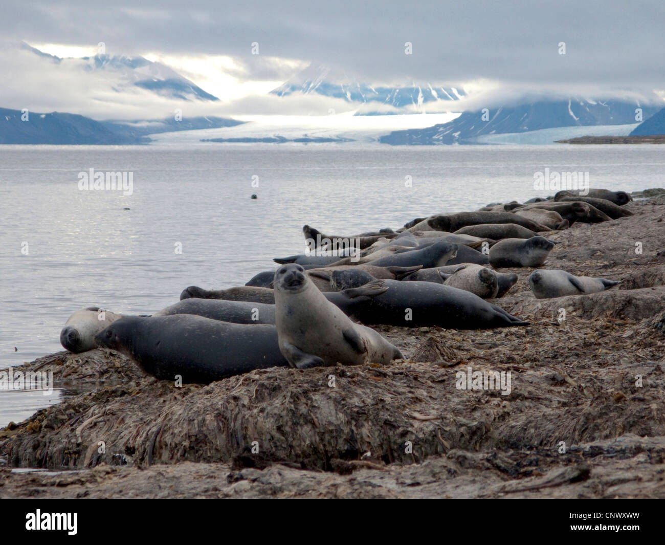 harbor seal, common seal (Phoca vitulina), colony with glacier in the background, Norway, Svalbard, Fuglehuken - Stock Image
