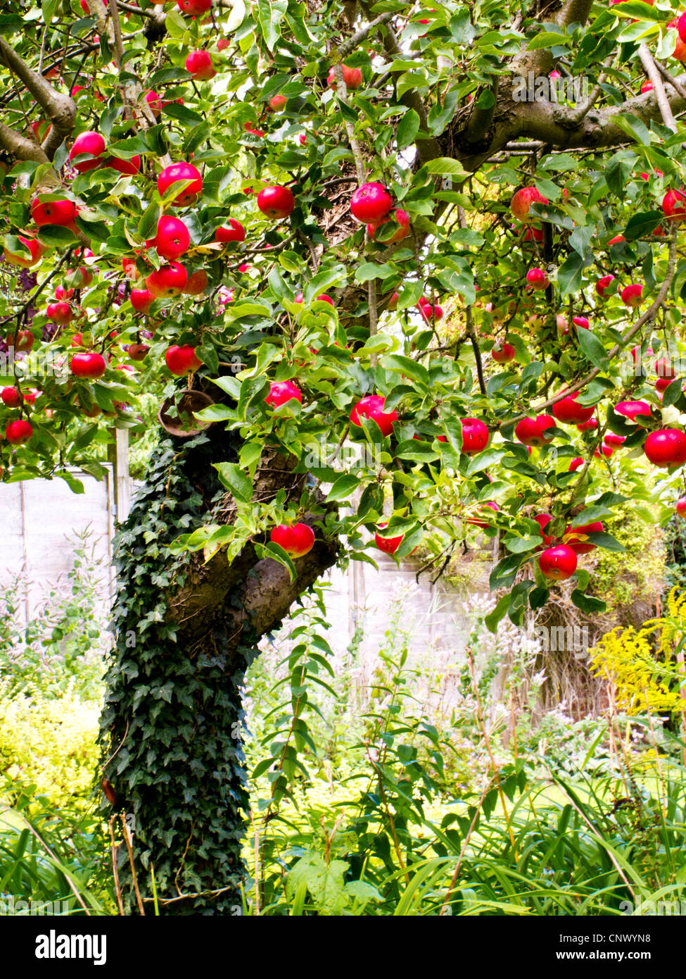 A tree laden with juicy red apples in an English country garden in summer, UK - Stock Image