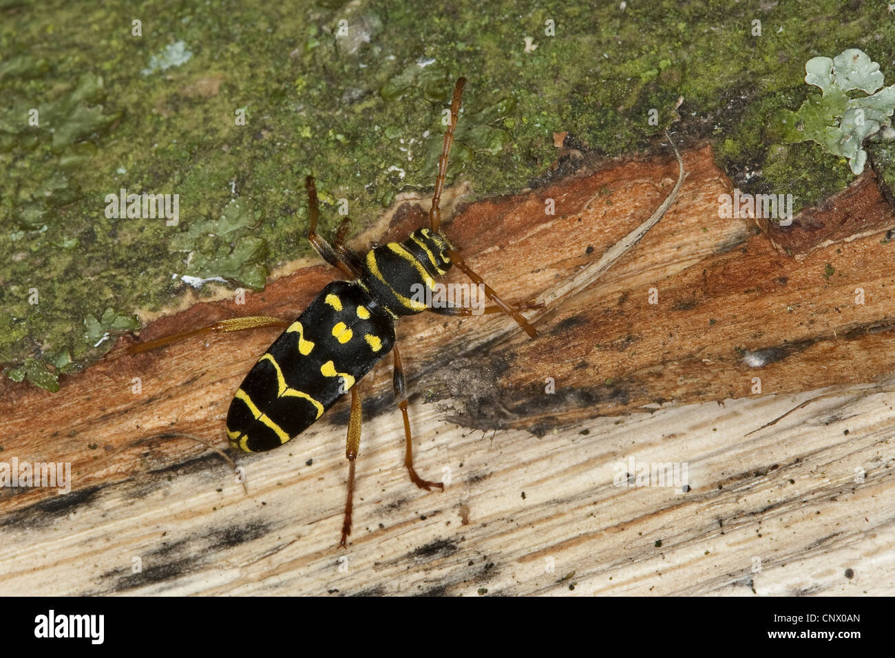 Yellow-bowed longhorn beetle (Plagionotus arcuatus, Clytus arcuatus), on oak wood, Germany - Stock Image