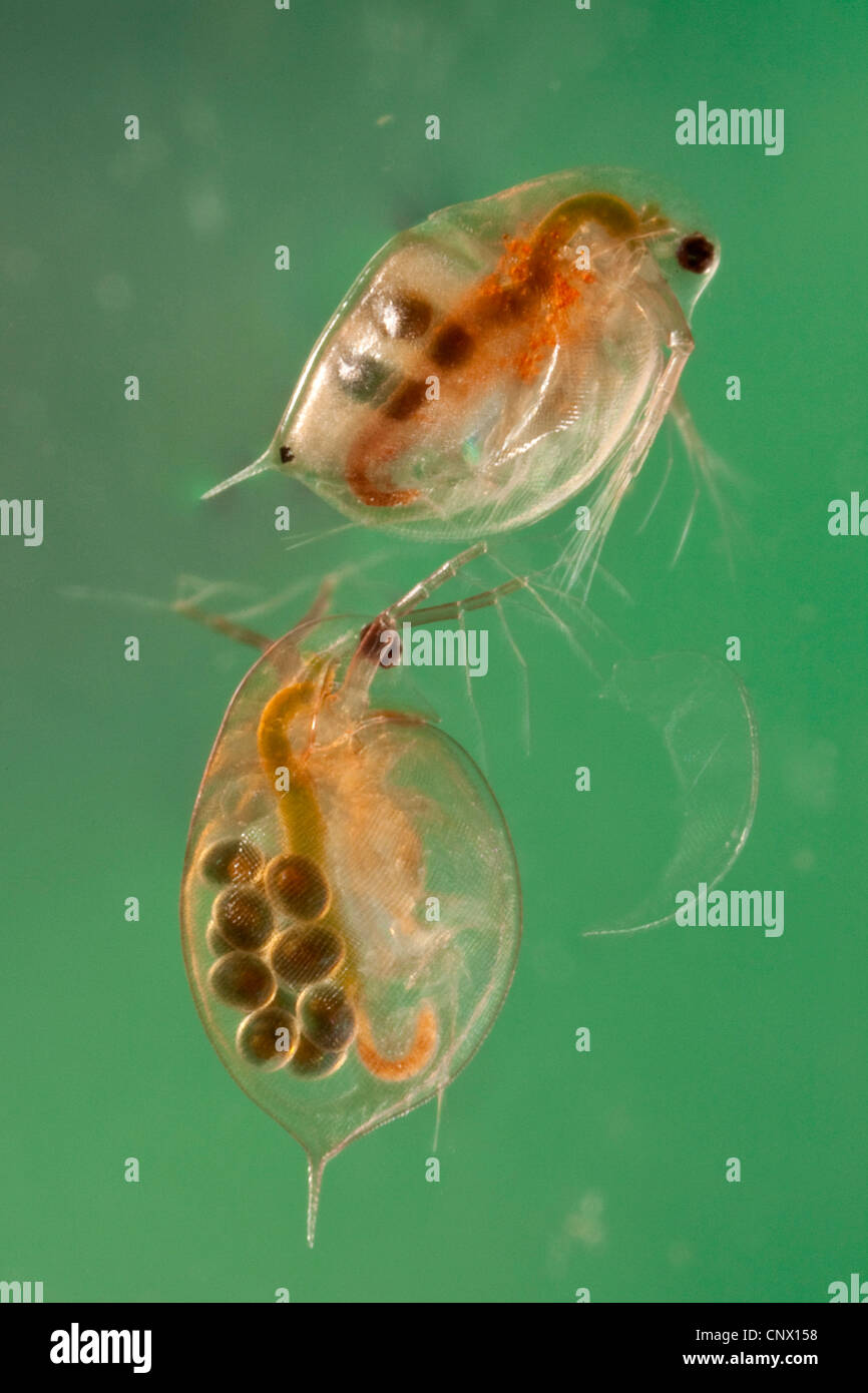 common water flea (Daphnia pulex), females with subitan eggs and resting eggs in their brood pouch - Stock Image