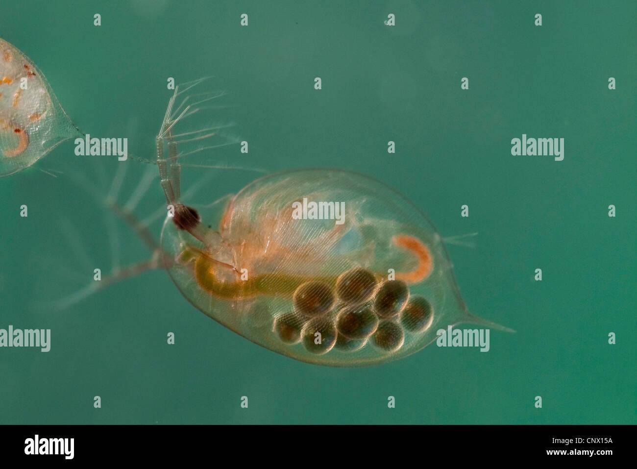 common water flea (Daphnia pulex), female with subitan eggs in the brood pouch - Stock Image