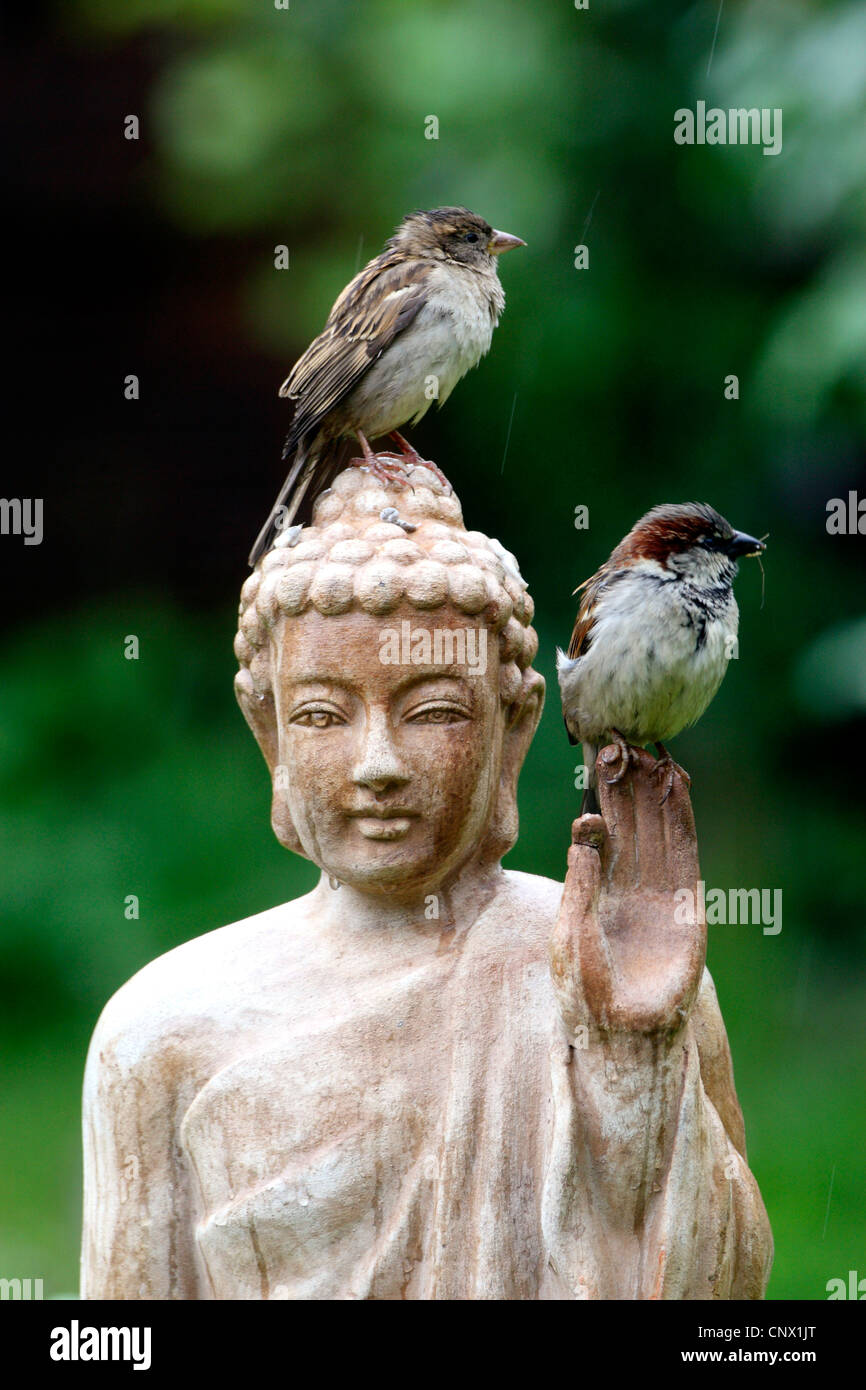house sparrow (Passer domesticus), two birds sitting on the head of a terracotta buddha statue in the garden , Germany - Stock Image