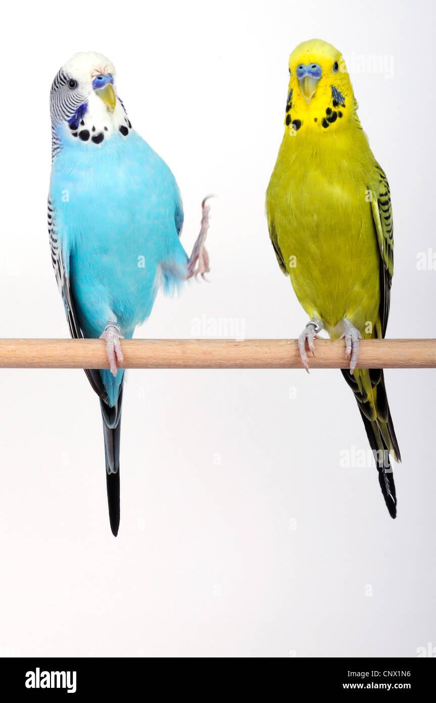 budgerigar, budgie, parakeet (Melopsittacus undulatus), two budgies sitting on wooden bar Stock Photo