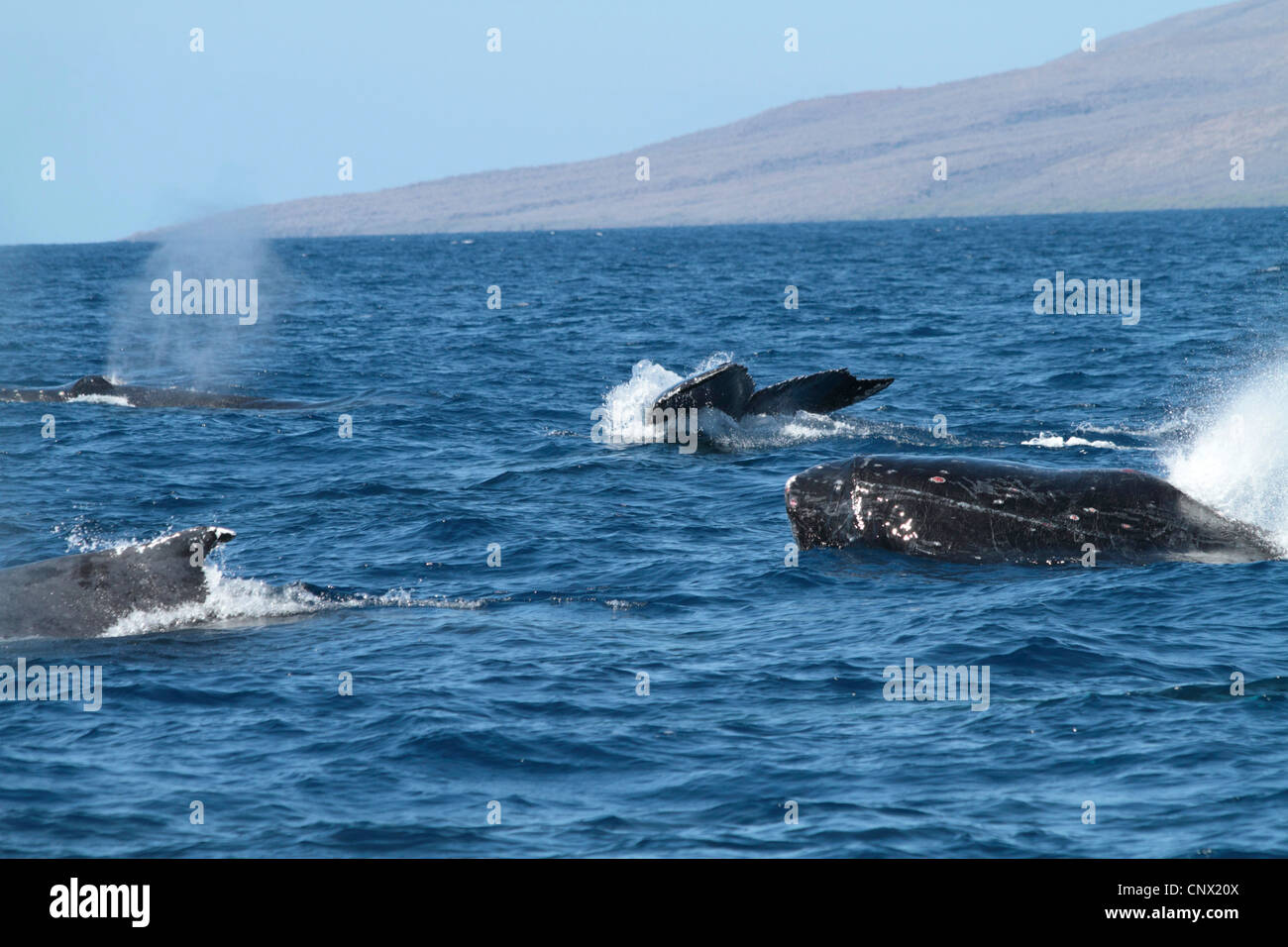 humpback whale (Megaptera novaeangliae), emerging and submerging individuals, USA, Hawaii, Maui Stock Photo
