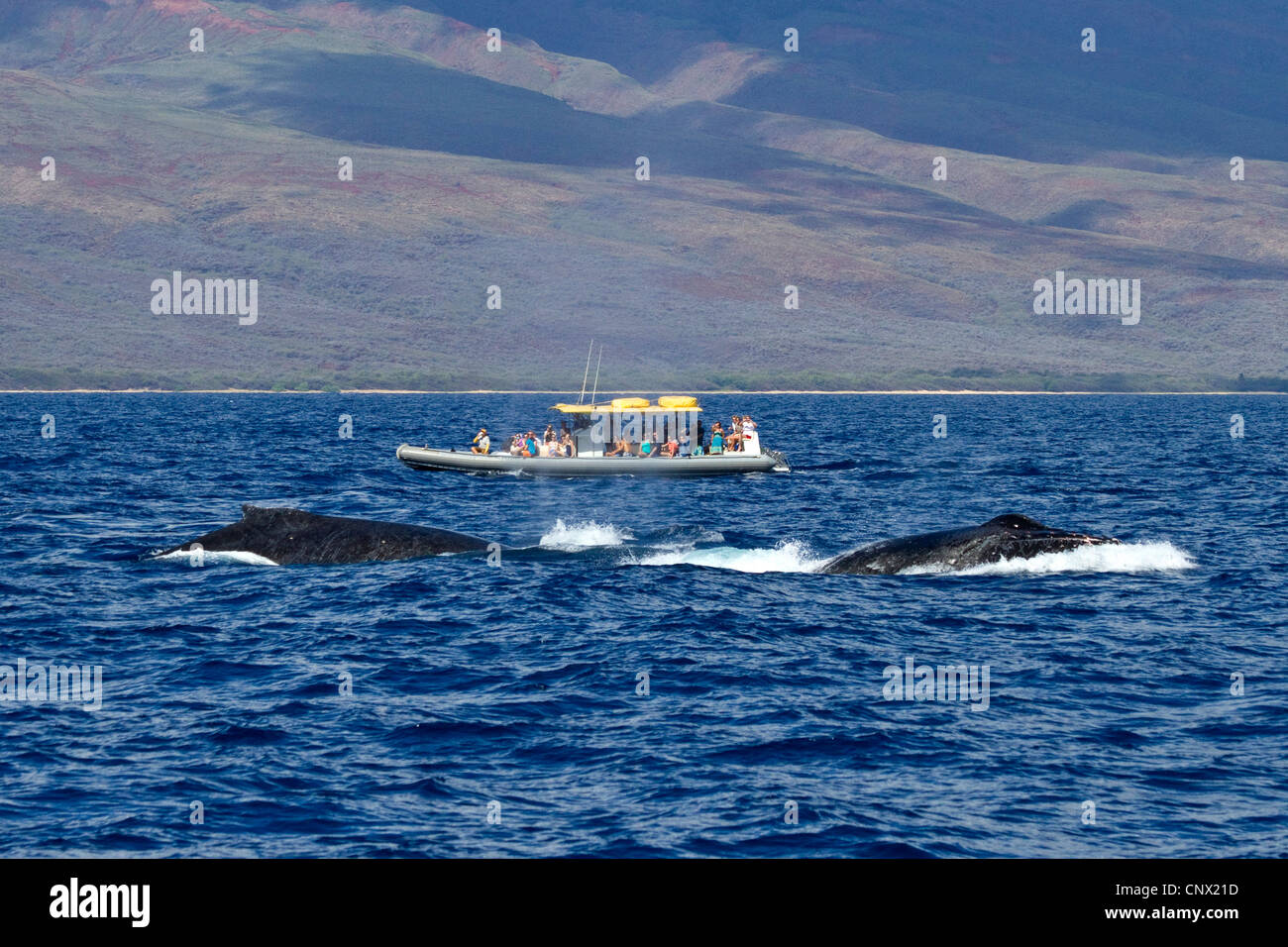 humpback whale (Megaptera novaeangliae), Whale Watching, tourist boat beside twi whales, USA, Hawaii, Maui - Stock Image