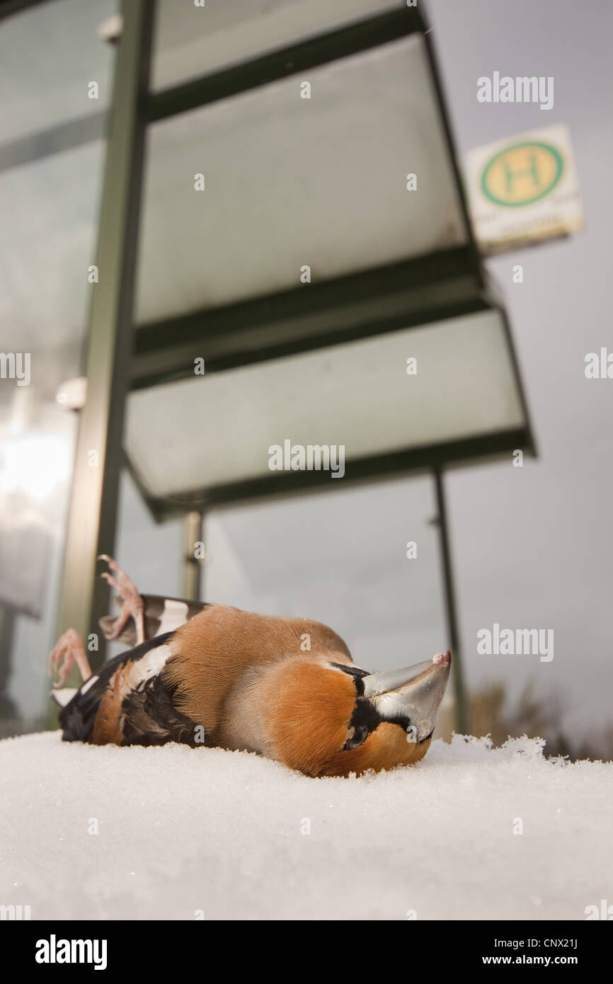 hawfinch (Coccothraustes coccothraustes), dead male in front of a glass panel - Stock Image