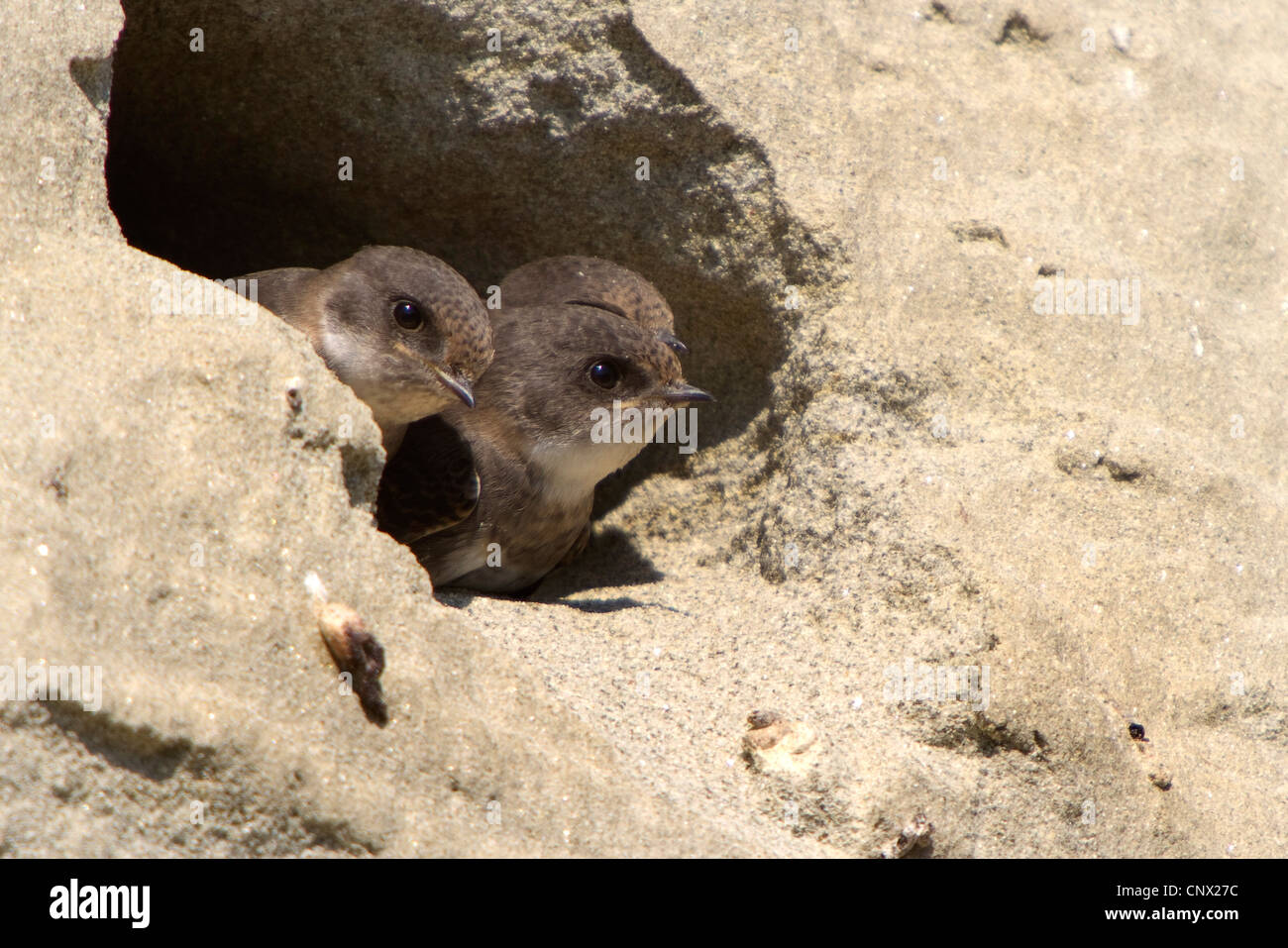 sand martin (Riparia riparia), three young birds looking out of breeding tube, Germany, Bavaria, Isental - Stock Image