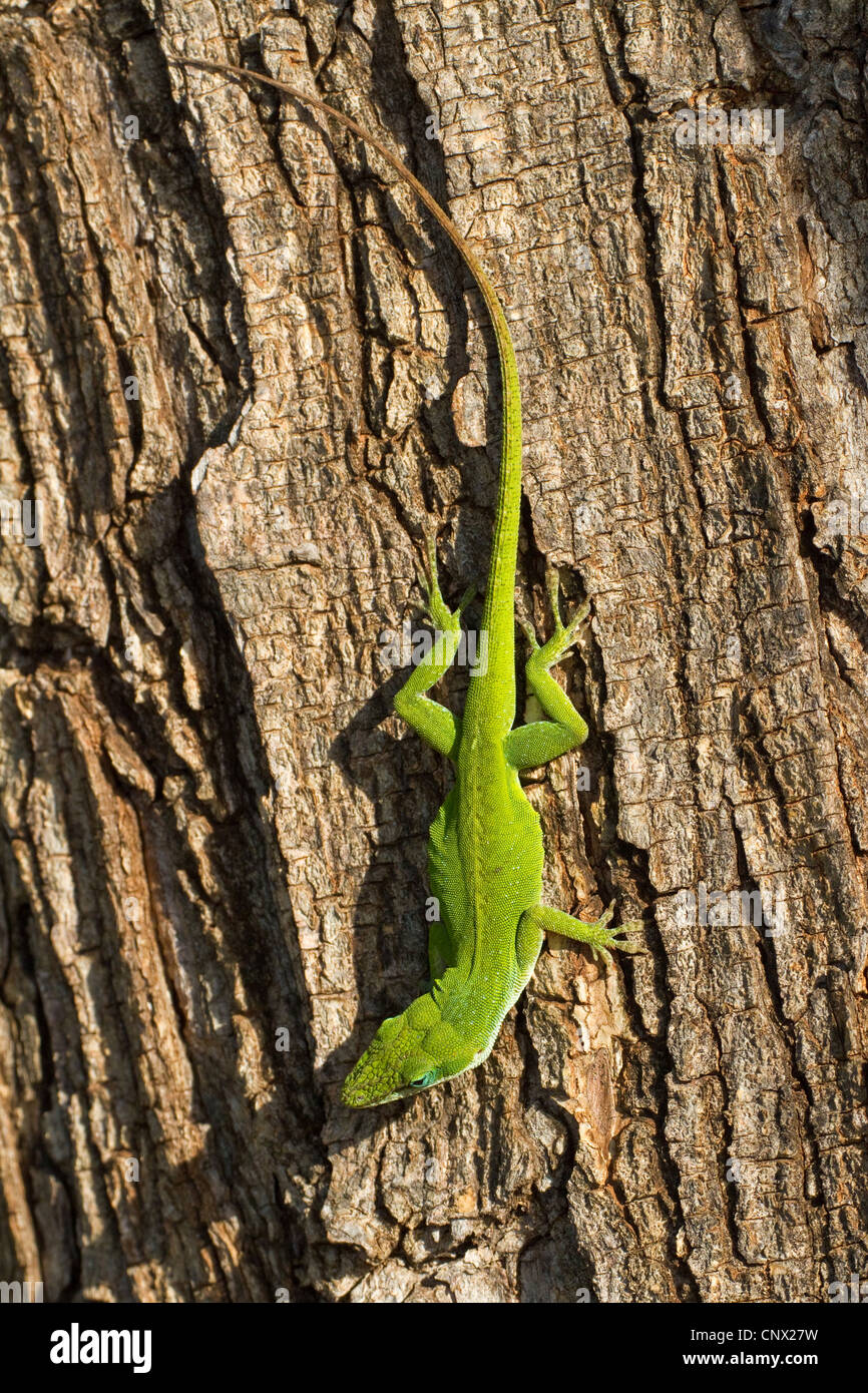 green anole (Anolis carolinensis), sitting upside down at a tree trunk, USA, Hawaii, Maui - Stock Image
