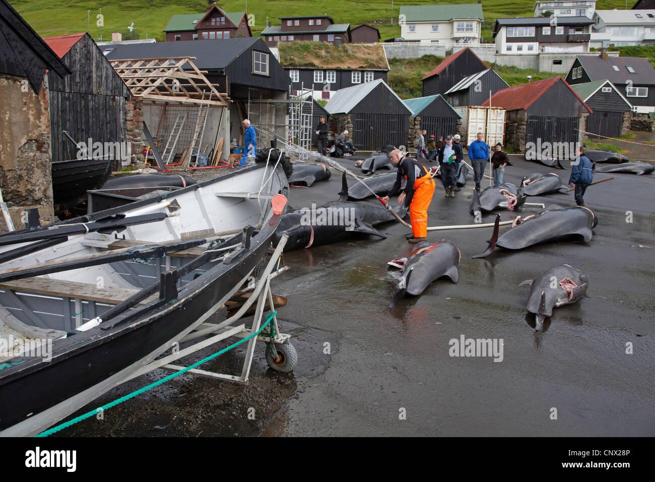 long-finned pilot whale, pothead whale, caaing whale, longfin pilot whale, Atlantic pilot whale, blackfish (Globicephala - Stock Image