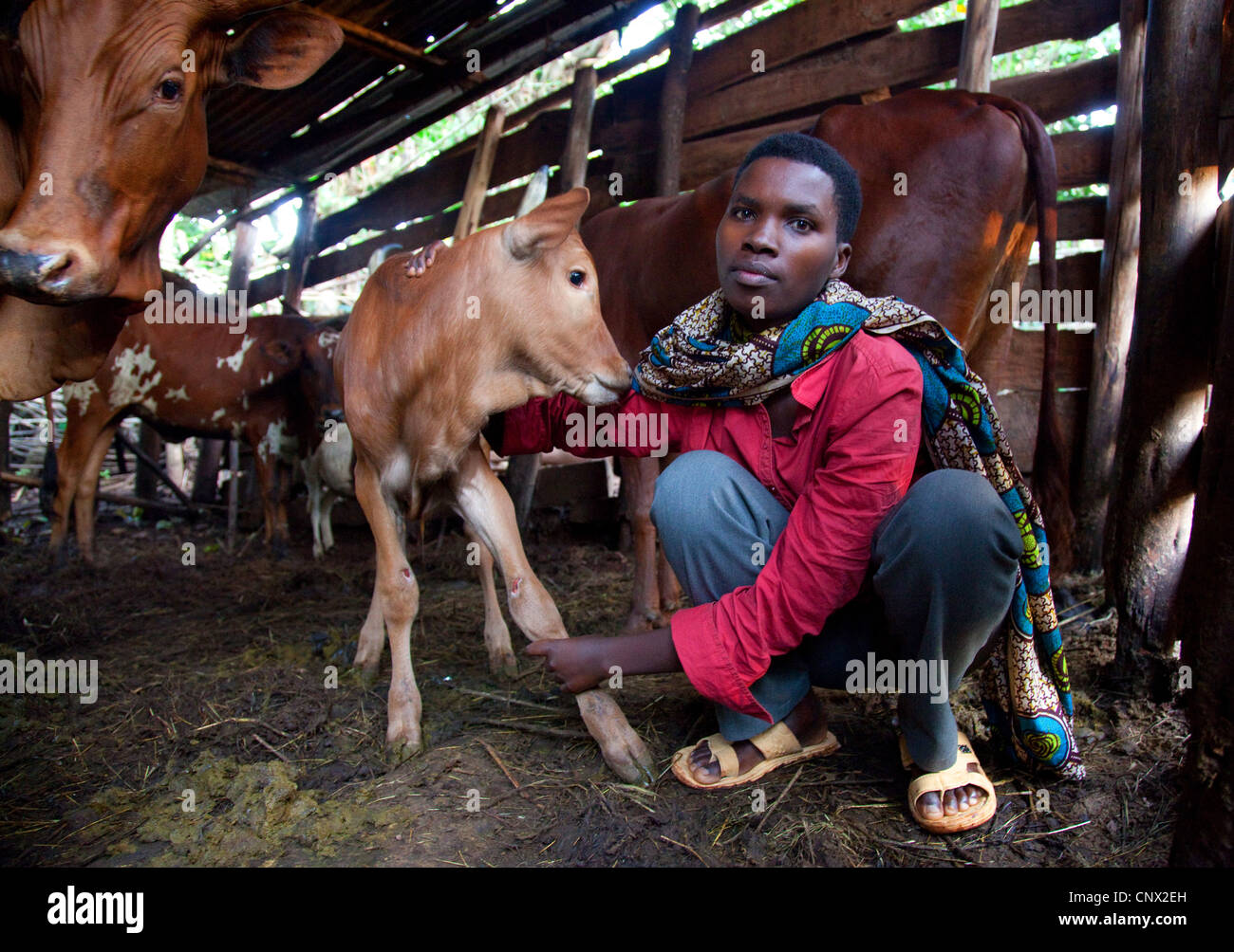 domestic cattle (Bos primigenius f. taurus), young woman in a humble cowshed taking care of a calf, Burundi, Cankuzo, - Stock Image