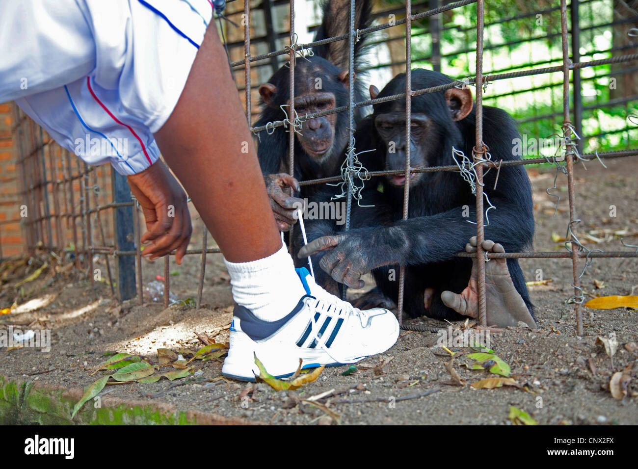 common chimpanzee (Pan troglodytes), two monkey trying to tie one man's shoes, Burundi, Bujumbura Mairie, Bujumbura - Stock Image