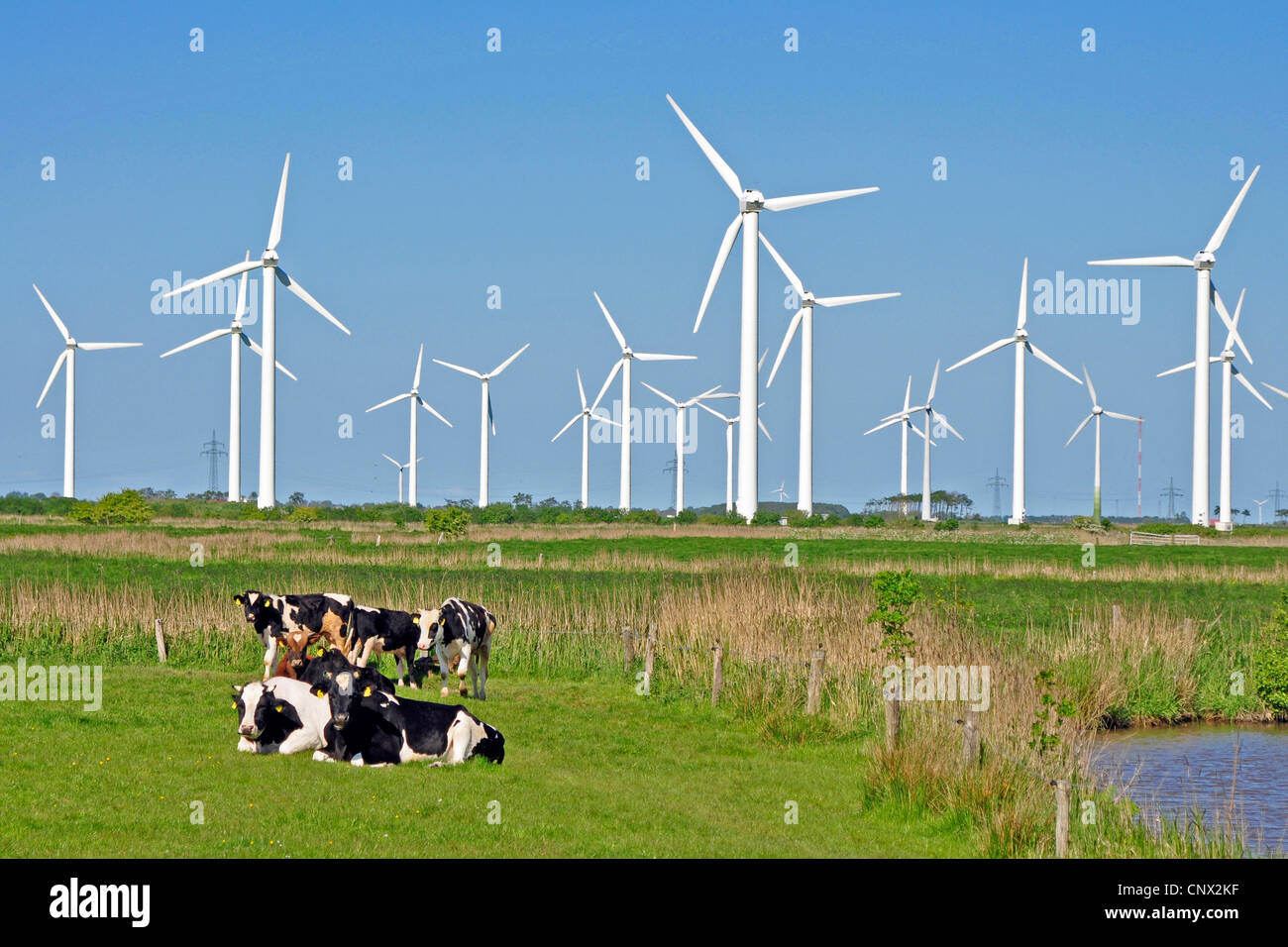 domestic cattle (Bos primigenius f. taurus), in a pasture in front of a wind power station, Germany, Lower Saxony, - Stock Image